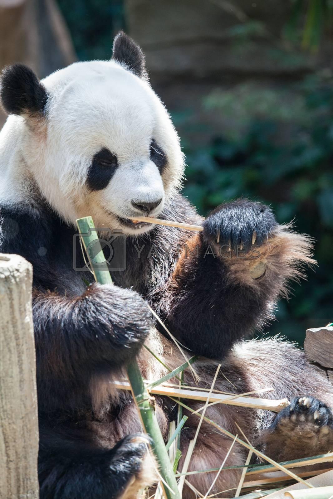 Giant panda (Ailuropoda melanoleuca). Wildlife animal. Eating bamboo