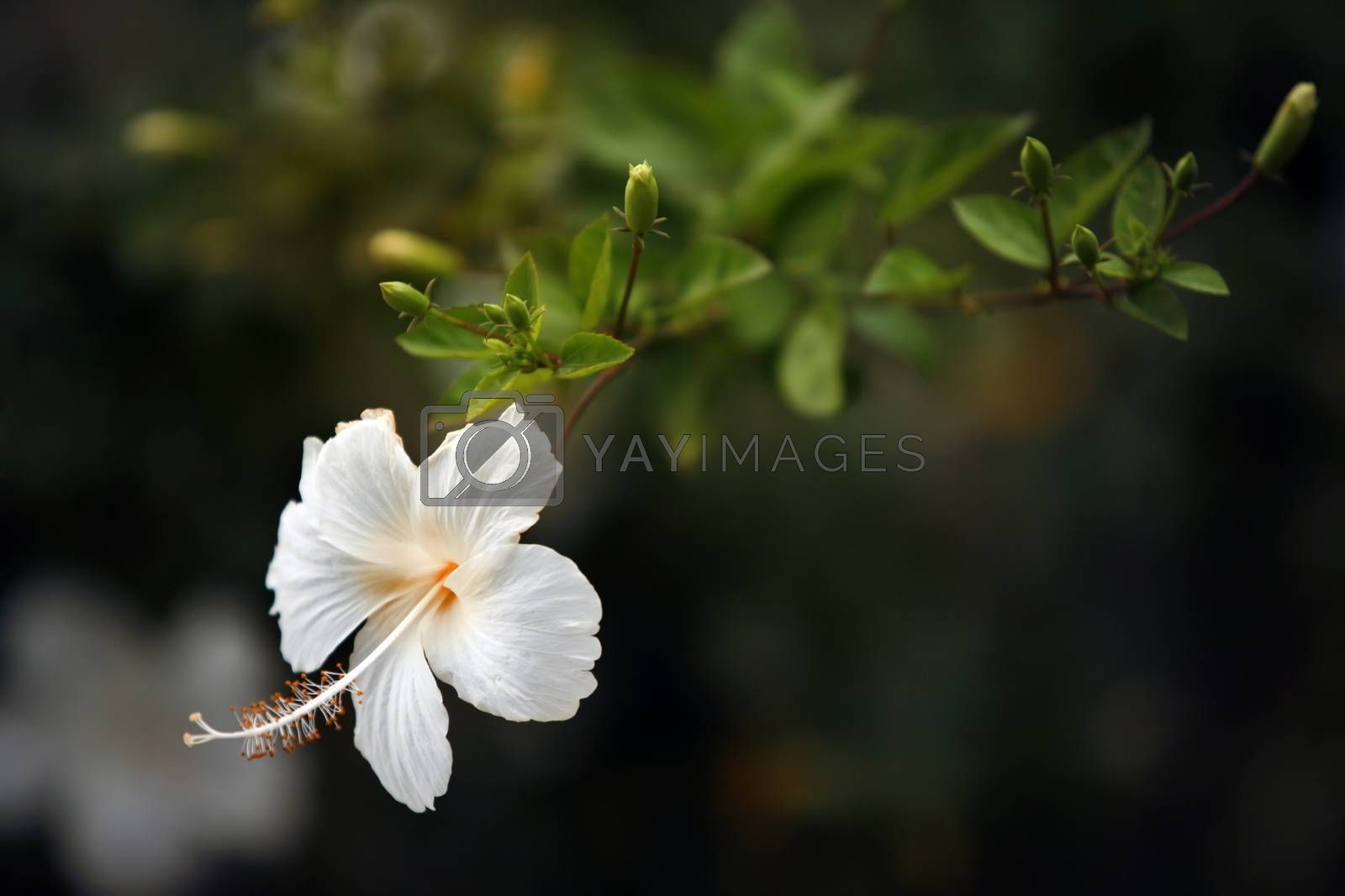 White Chinese Rose, Shoe flower or a flower of white hibiscus