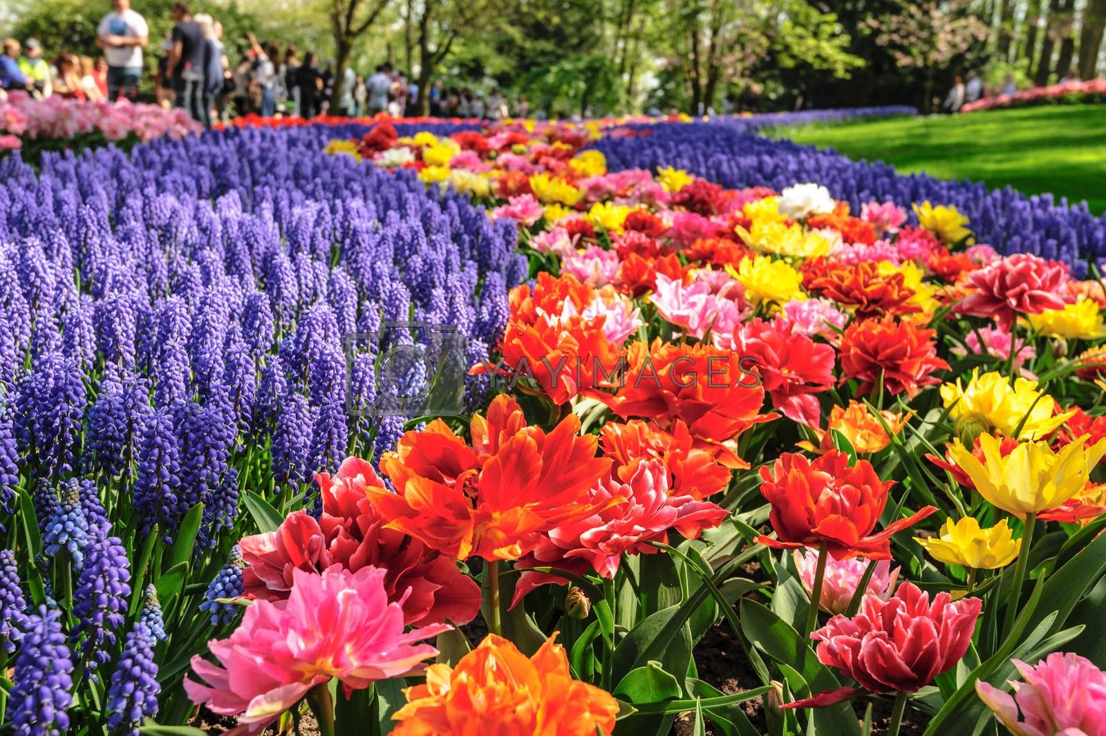 Large multicolored tulips flowerbed in Netherlands, unrecognizable people at background