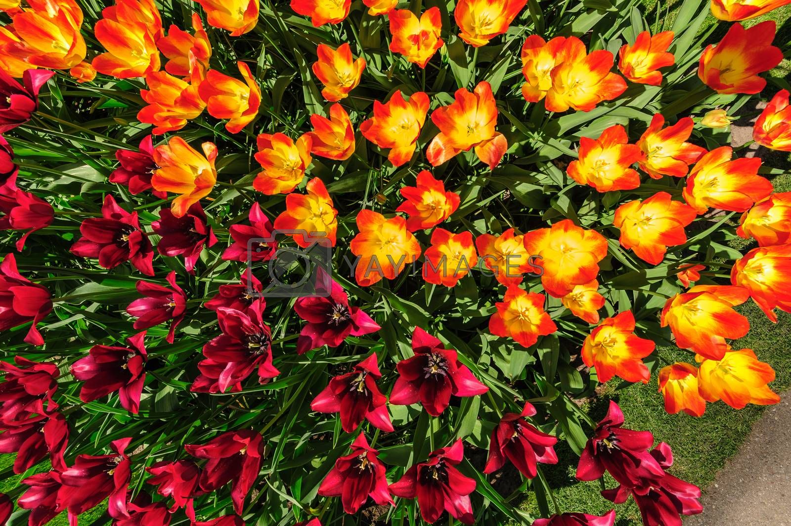 Large multicolored tulips flowerbed in Netherlands, view from above