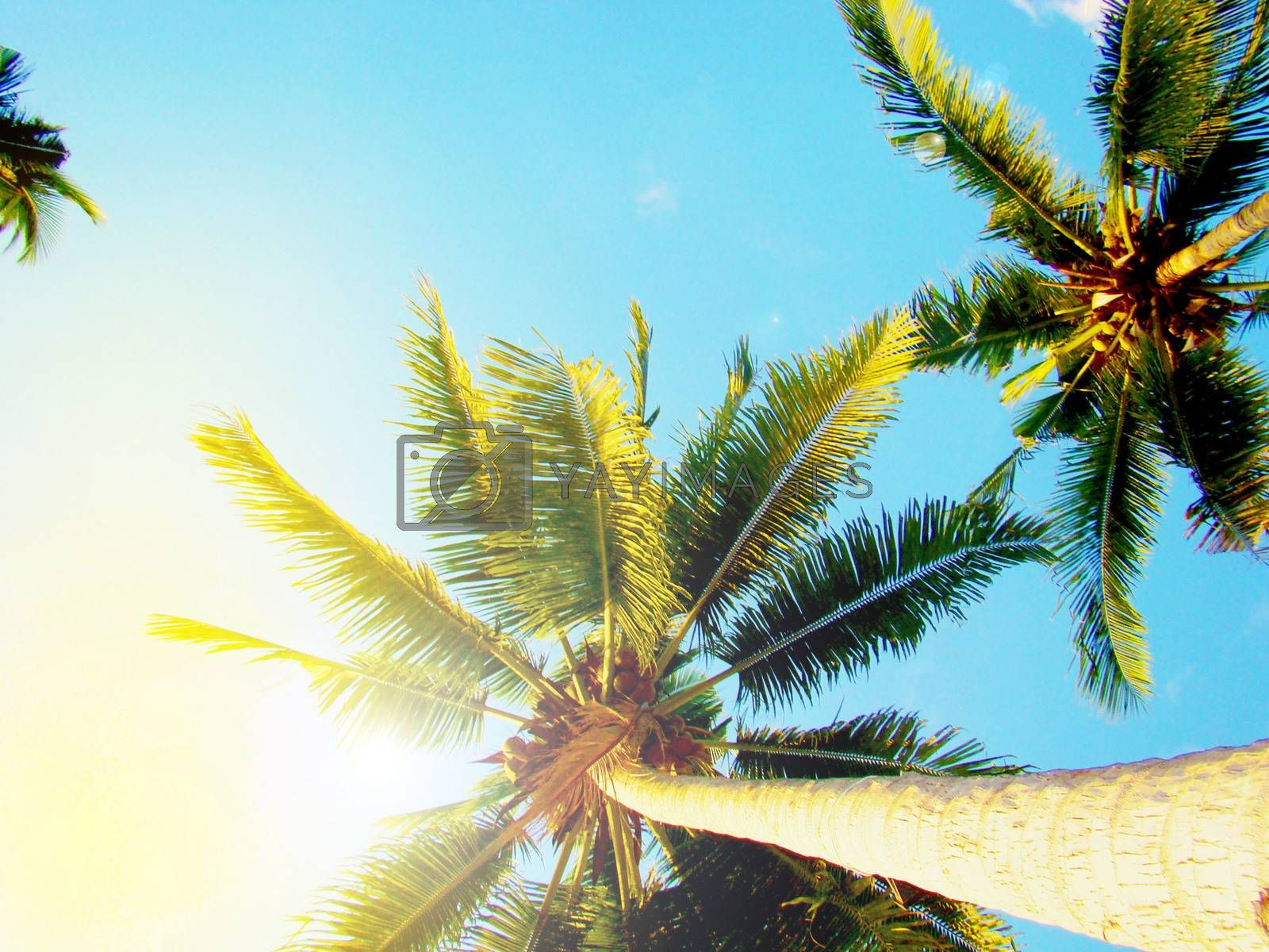Tropical palm tree, bottom view, against blue sky and bright sunlight.