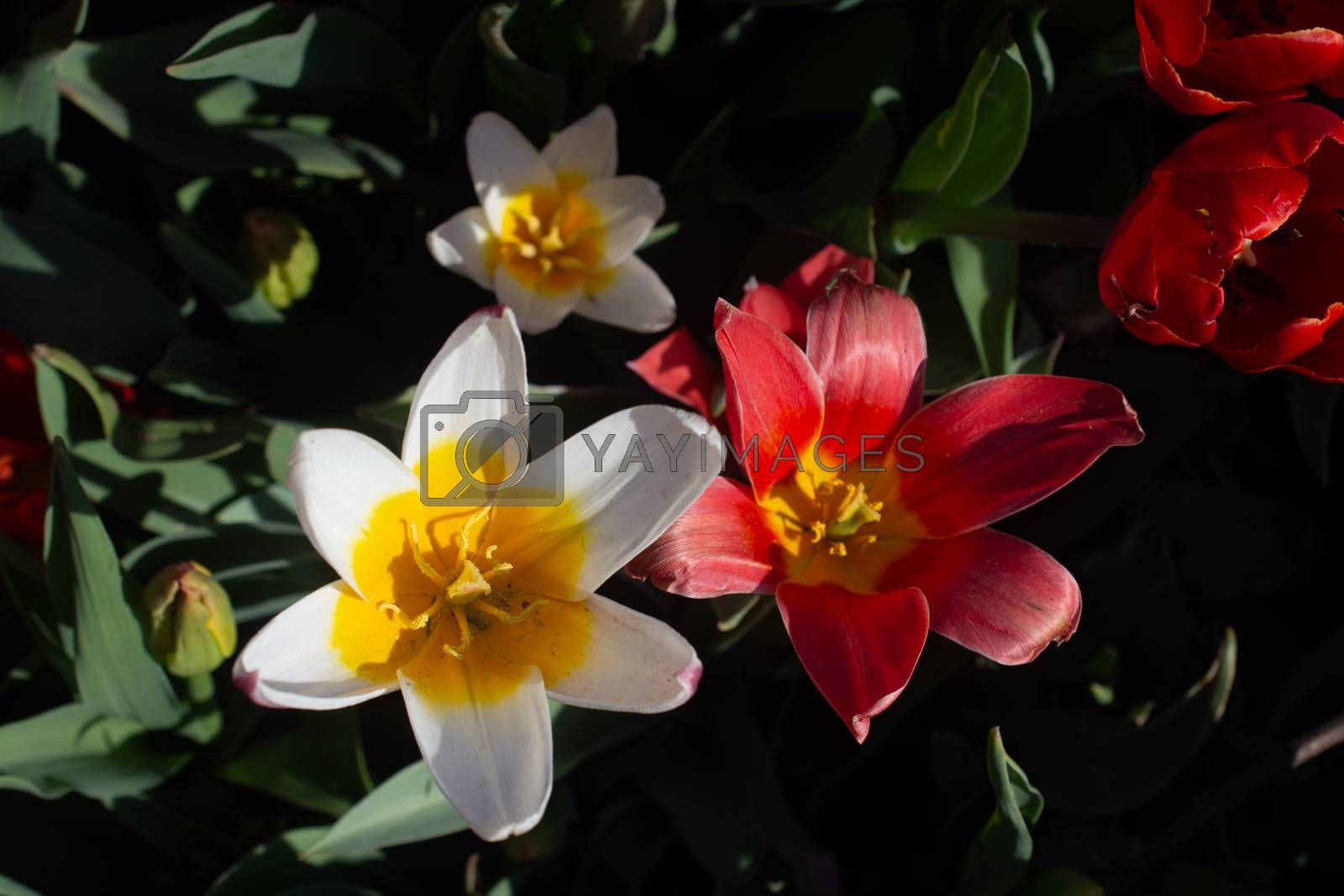 Blooming tulips  flowers in  as  floral plant  background
