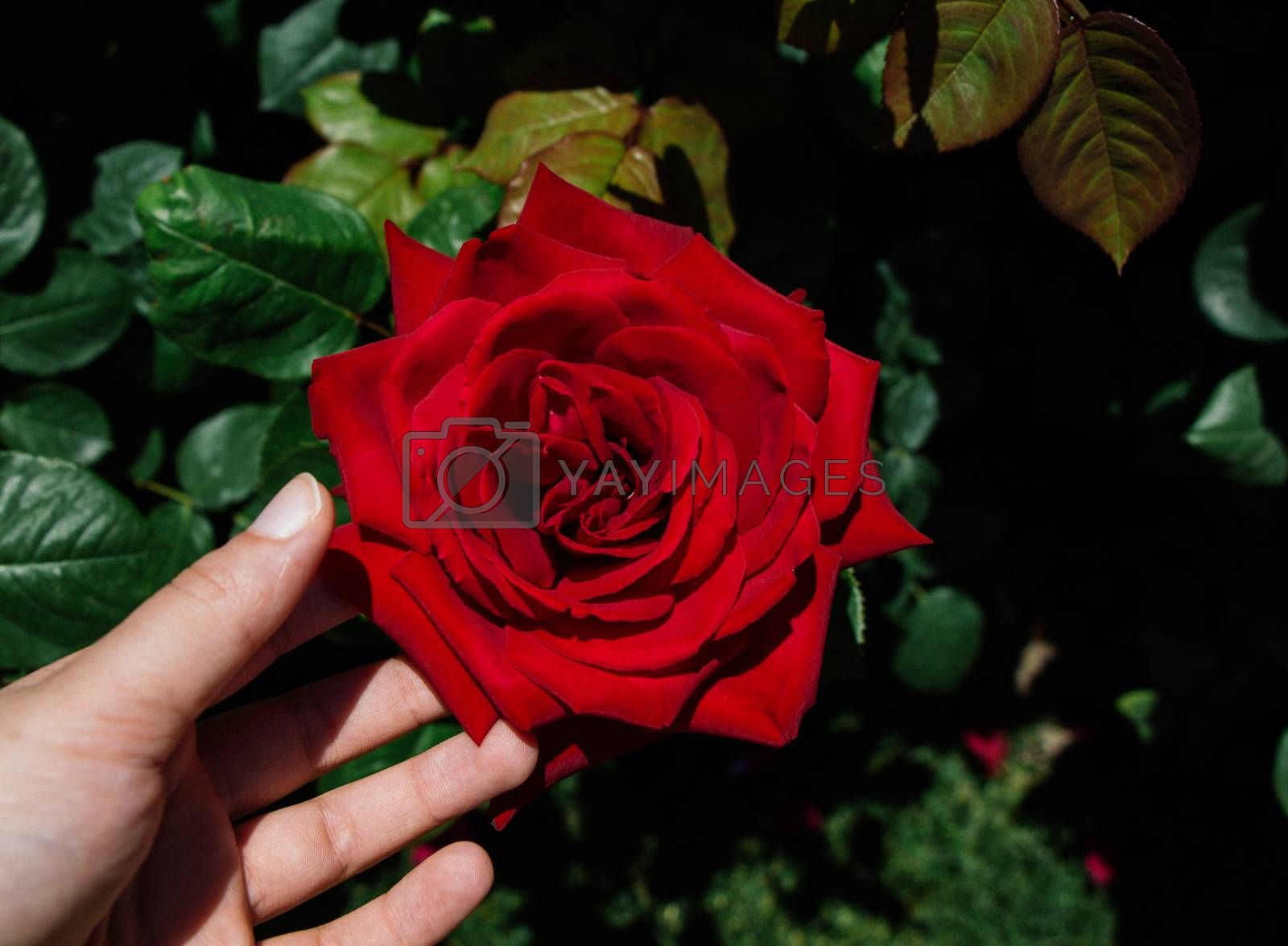Hand holding rose bloom in in the garden
