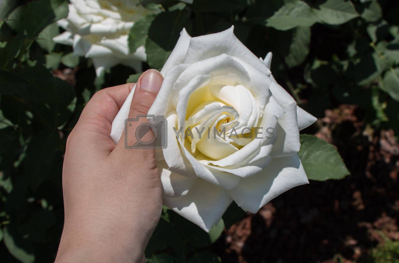 Hand holding a rose in a rose  garden by berkay