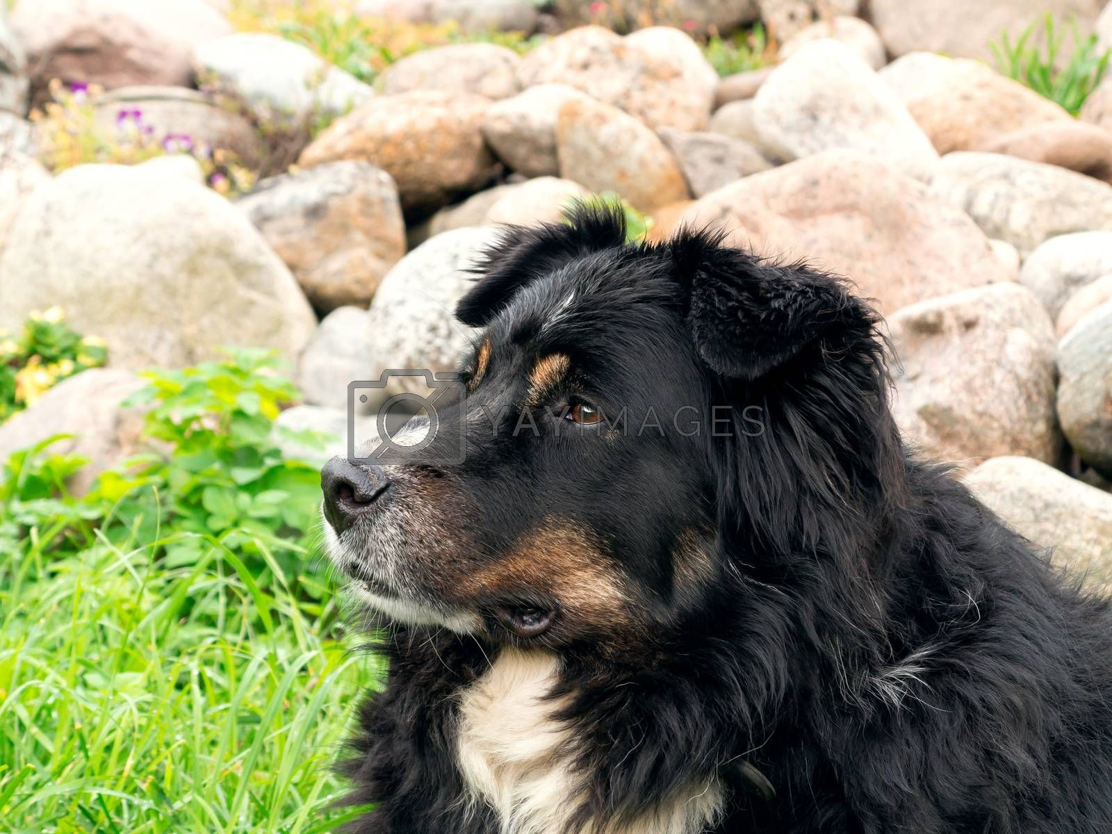 Large black dog from Berner Sennenhund lying on the lawn grass and carefully looks around, close-up by galsand