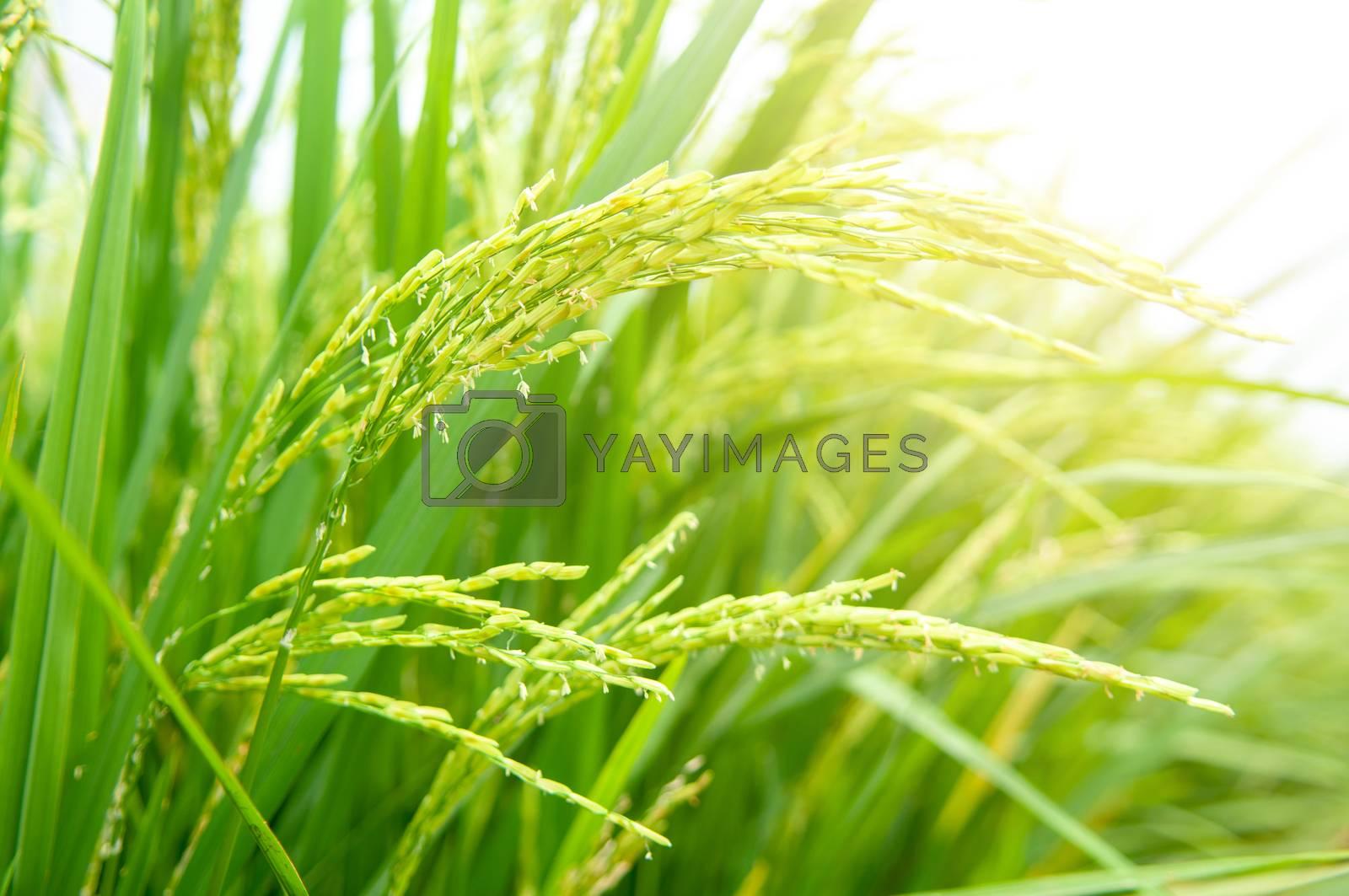 Close up paddy rice  by szefei