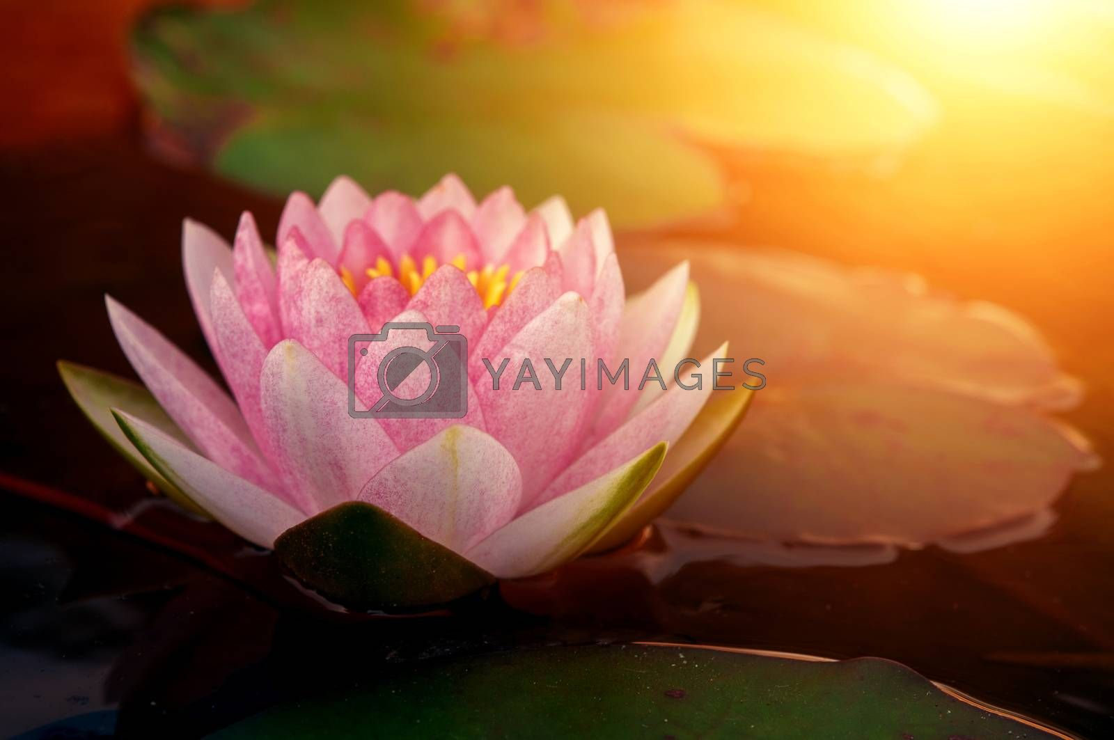 Pink lotus flower  by szefei