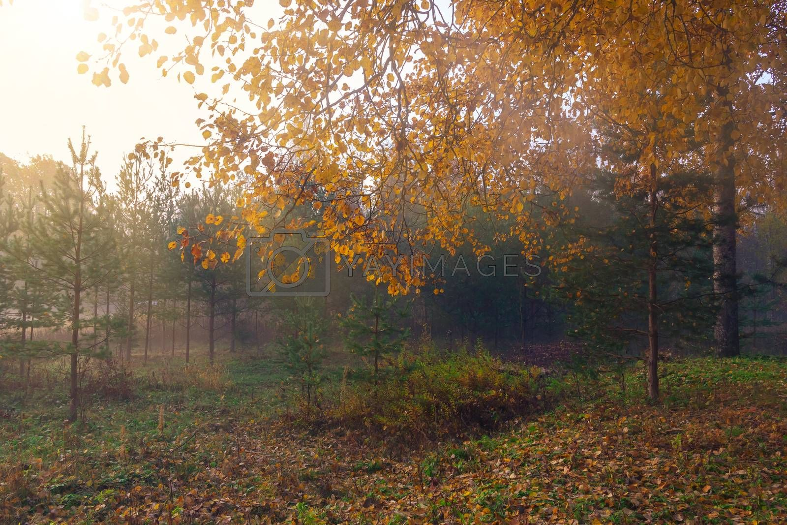 Fog in the autumn forest at sunrise, autumn background by galsand