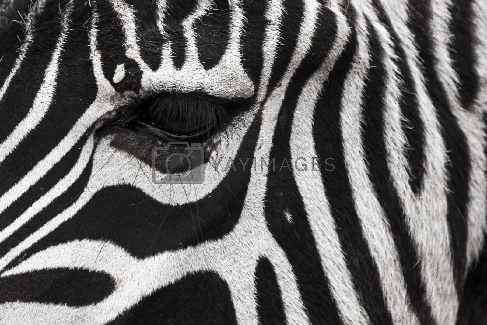 A zebra face with eye up close. Makes a nice background. by petrsvoboda91