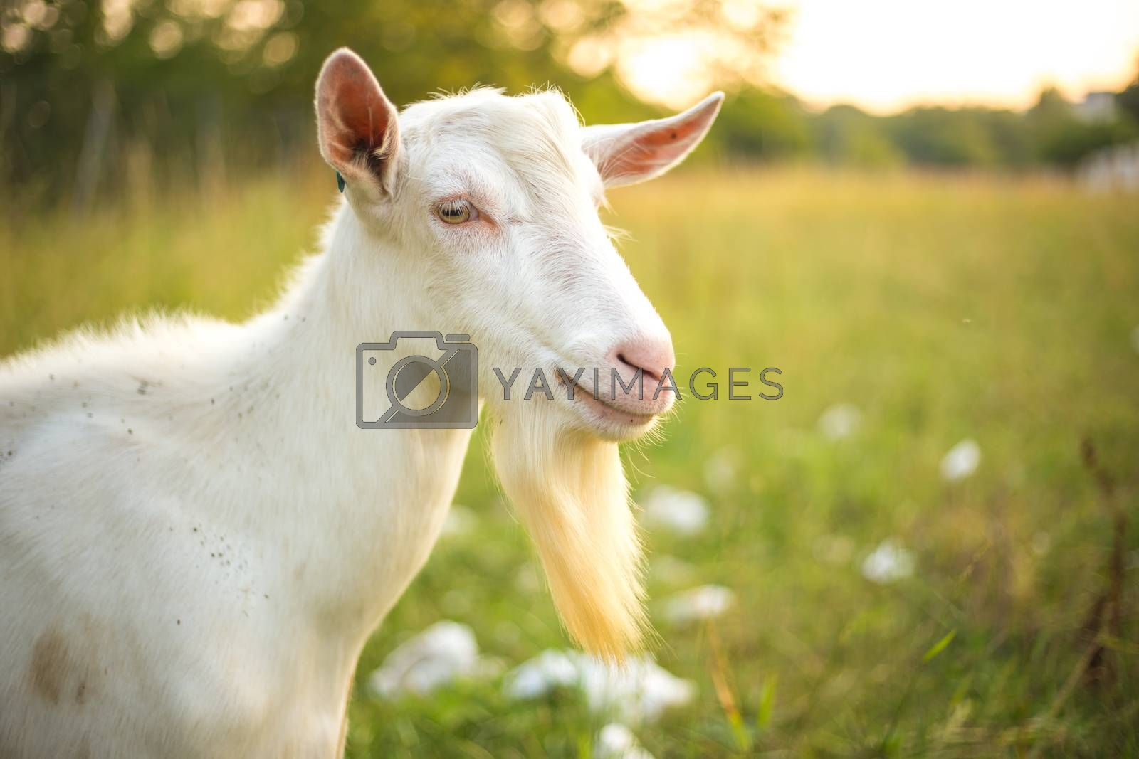 Young white goat with beard. Farm animal on a green grass background. by petrsvoboda91
