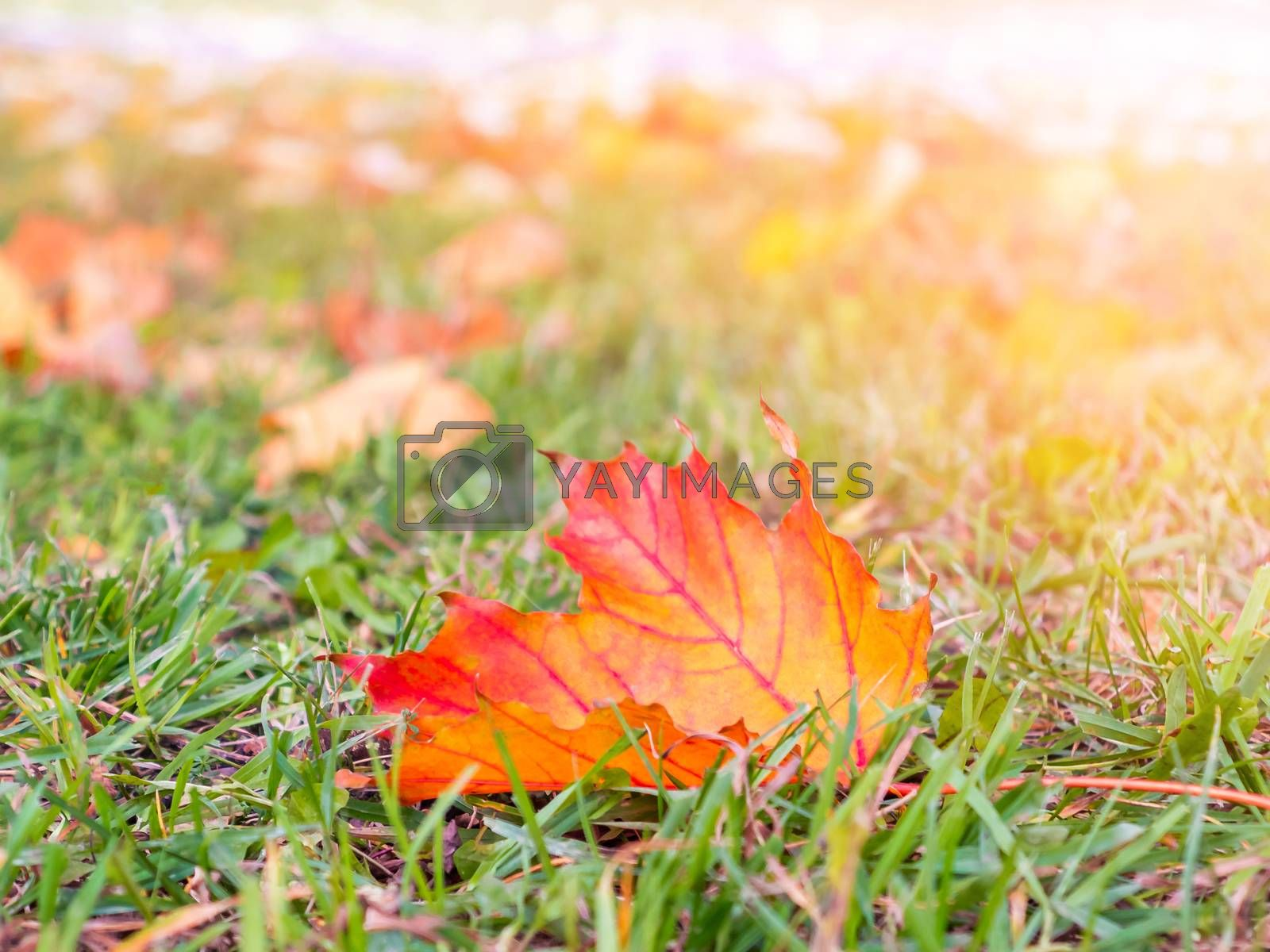 Orange autumn leaf on green grass close up. Autumn background by galsand