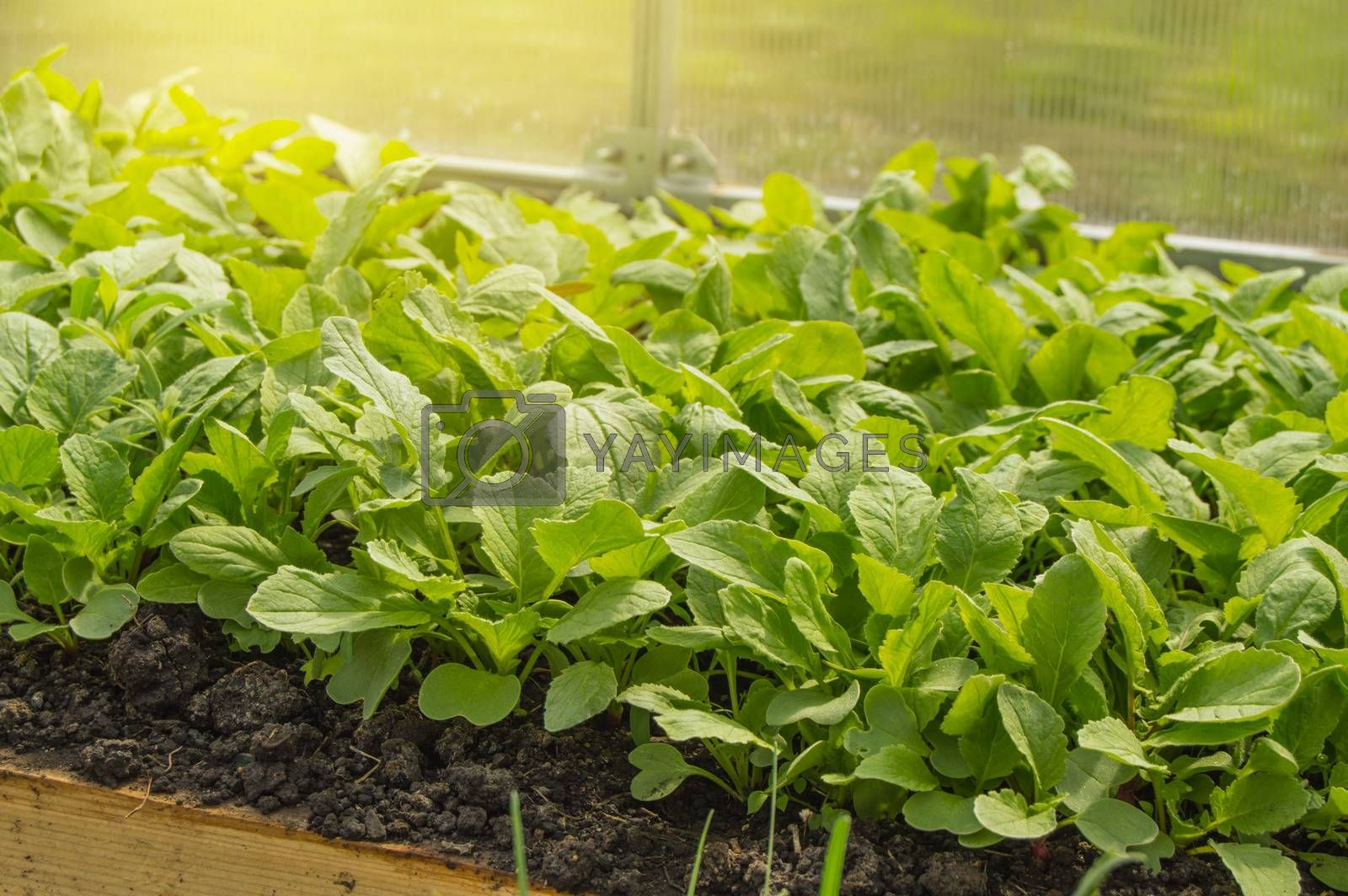 Young radish plants in the greenhouse, the concept of growing organic vegetables indoors all year round by Claire Lucia