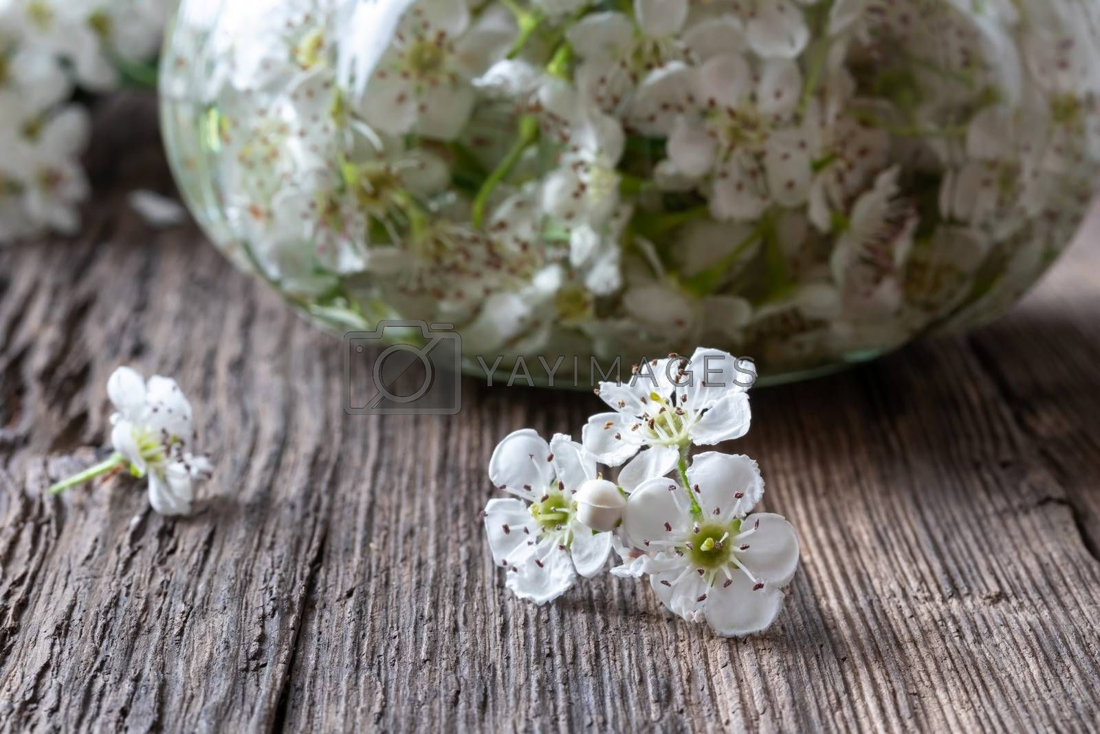 Fresh hawthorn flowers with tincture in the background