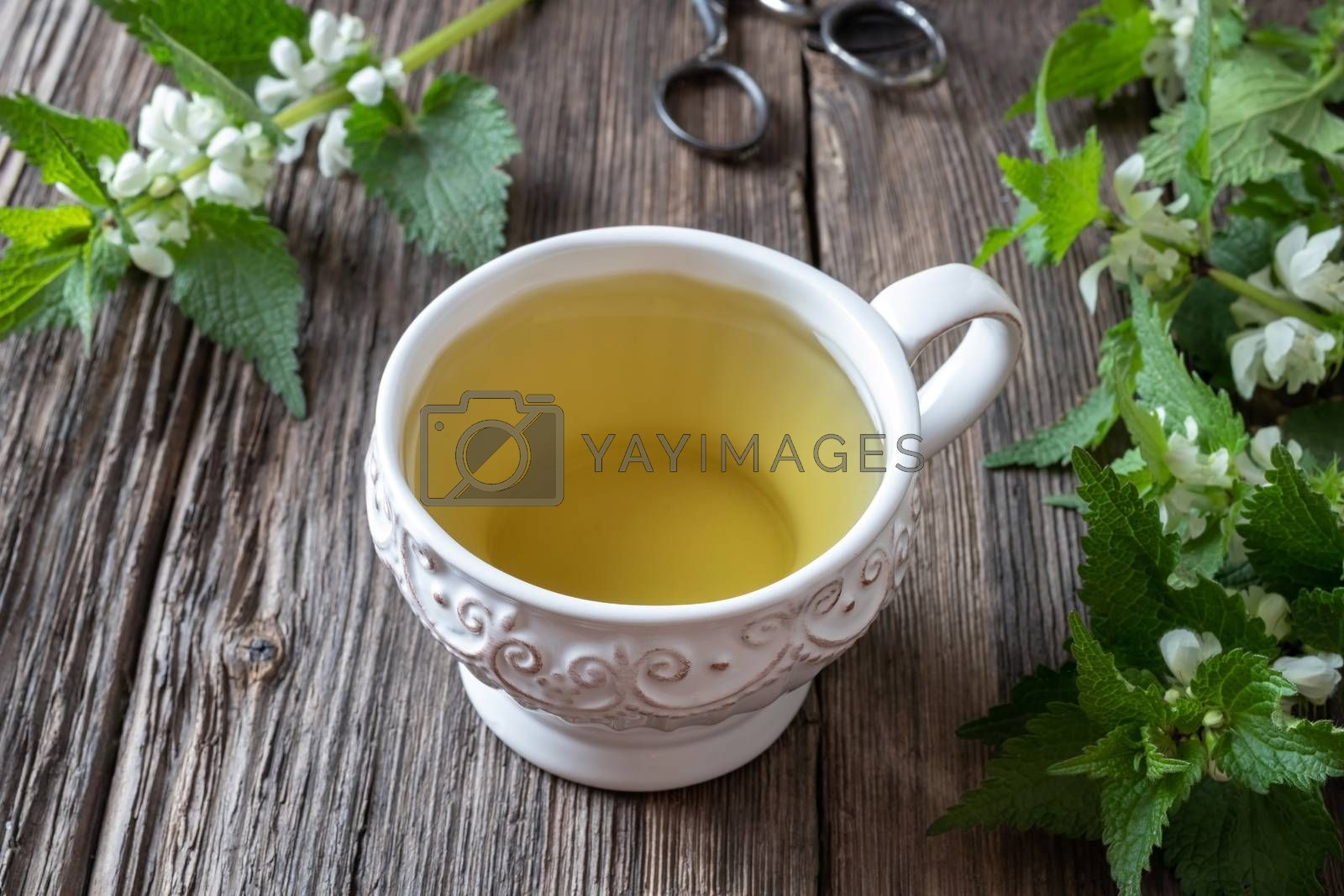 A cup of white dead-nettle tea with fresh blooming Lamium album plant