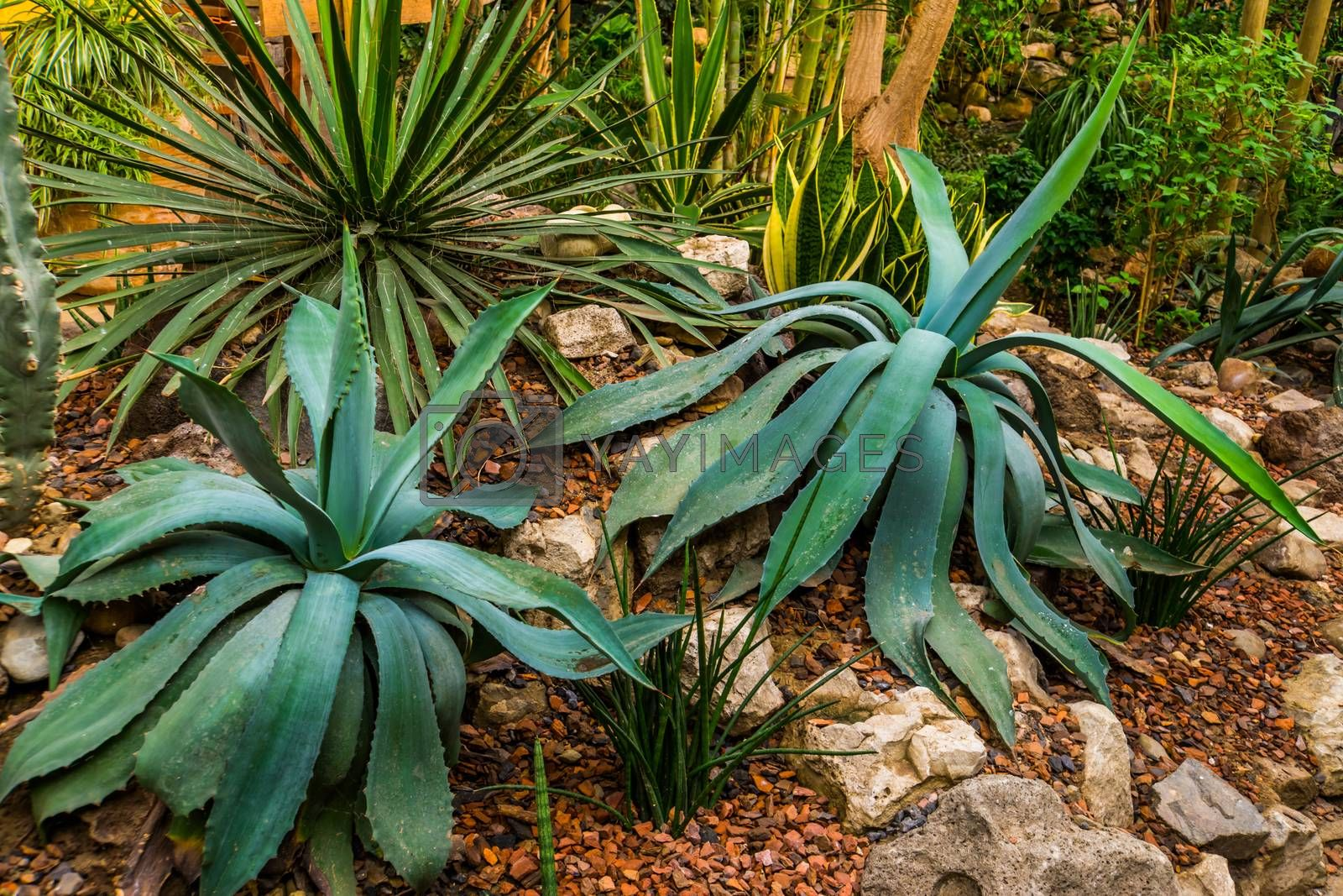 two agave plants in a tropical garden, popular decorative tropical plants from America by charlotte Bleijenberg