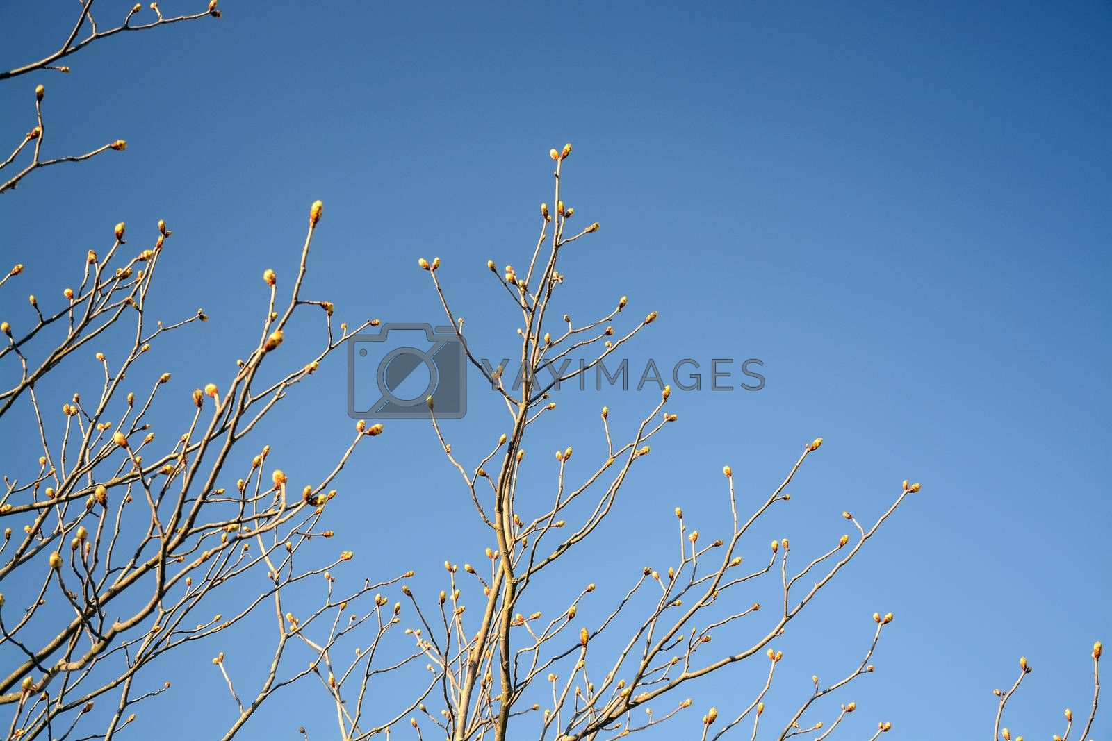 Spring tree branches with an abundance of buds against blue sky on a sunny spring day in April, Sweden.