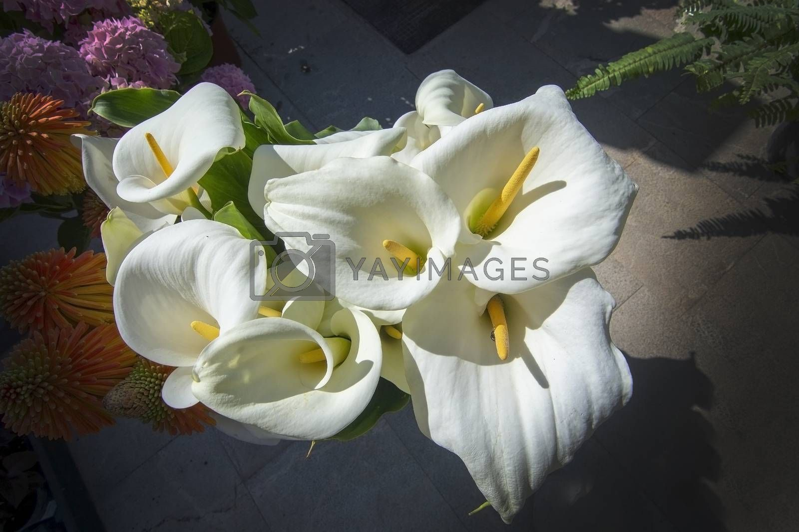 Beautiful white calla lilies closeup with petals and pistils in sunshine from above.