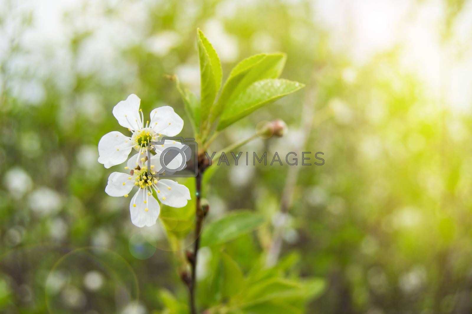 Beautiful cherry blossom branch, selective focus, Sunny day by Claire Lucia