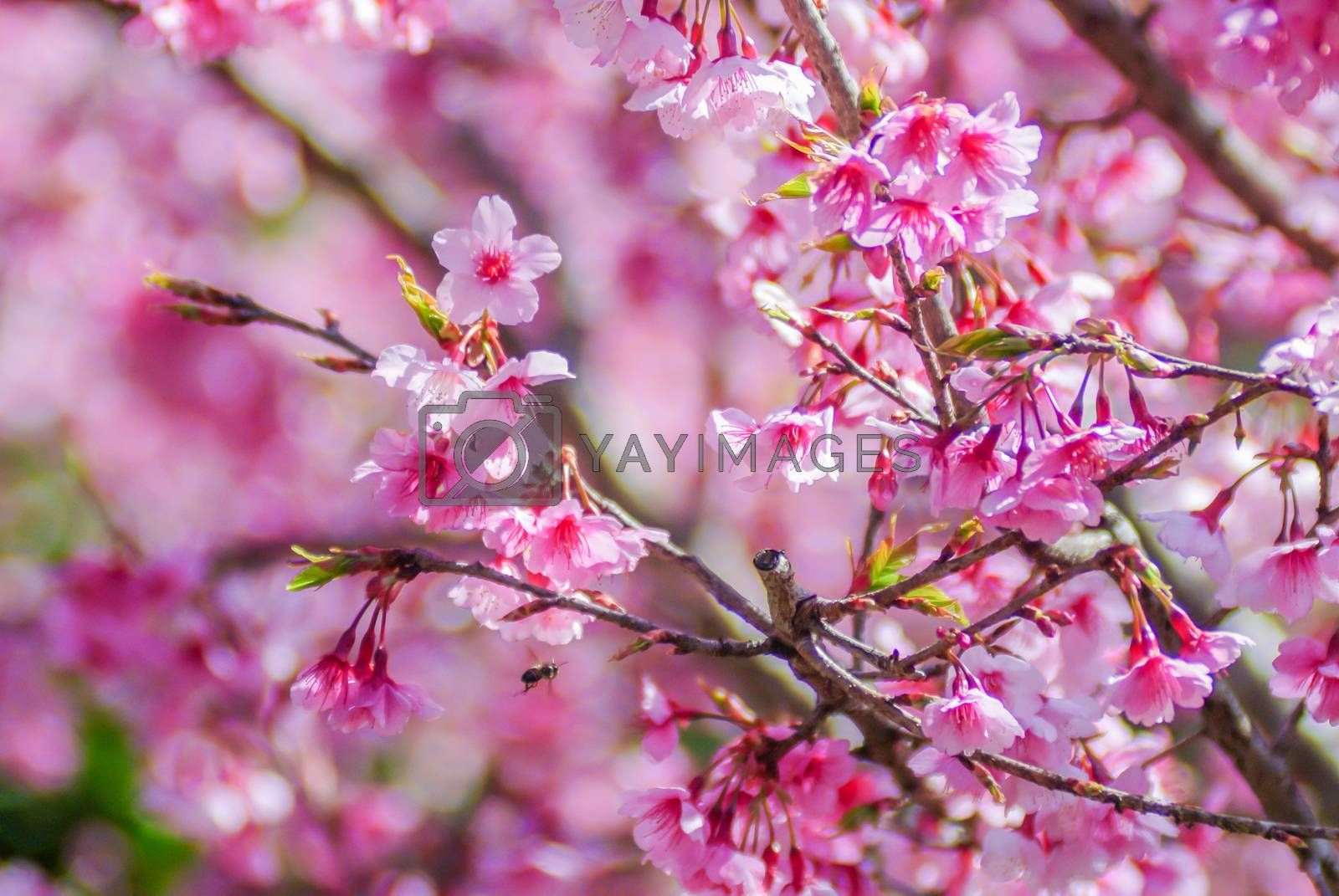 Pink Cherry Blosssom in spring by YuiYuize