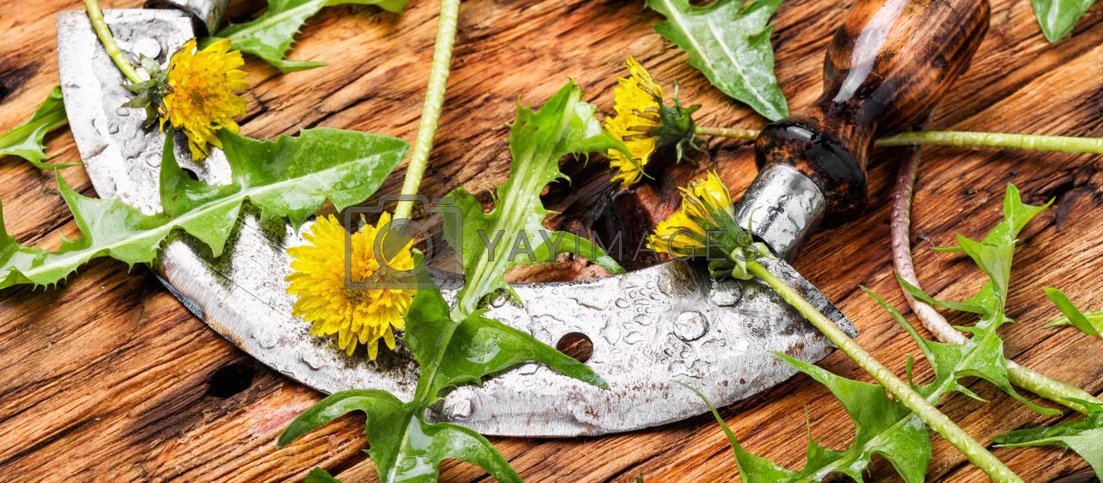Dandelion plant on table by LMykola