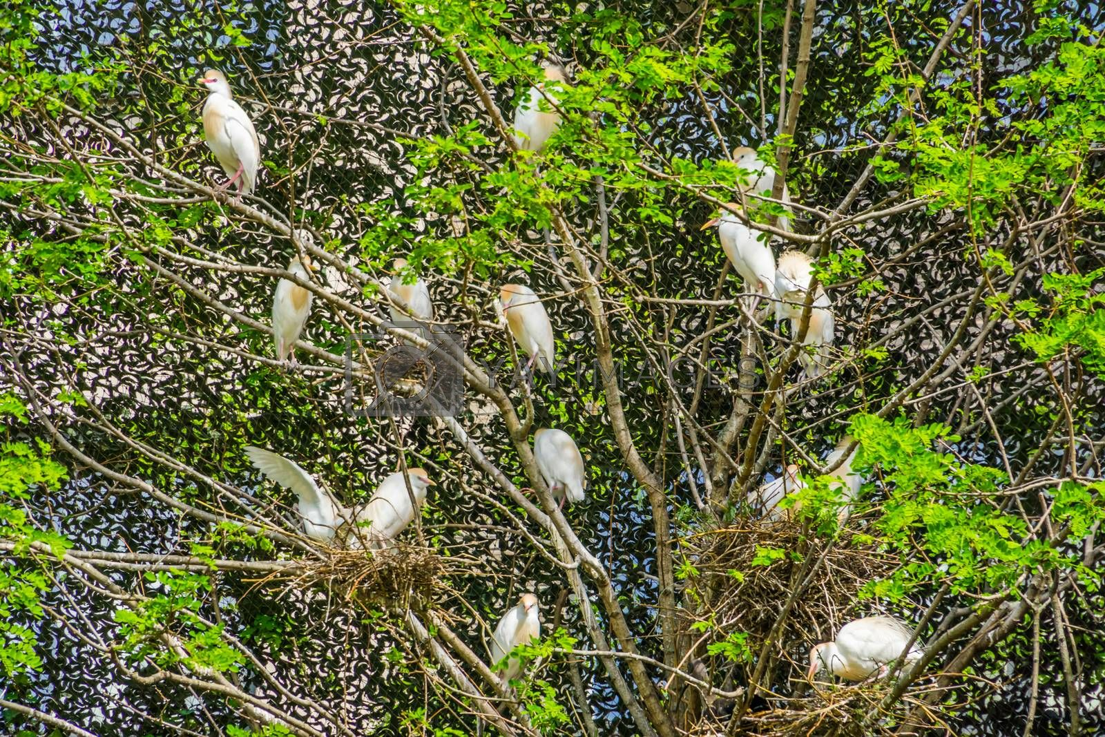 tree filled with a family of cattle egrets, Birds nesting in a tree, bird breeding season during spring by charlotte Bleijenberg