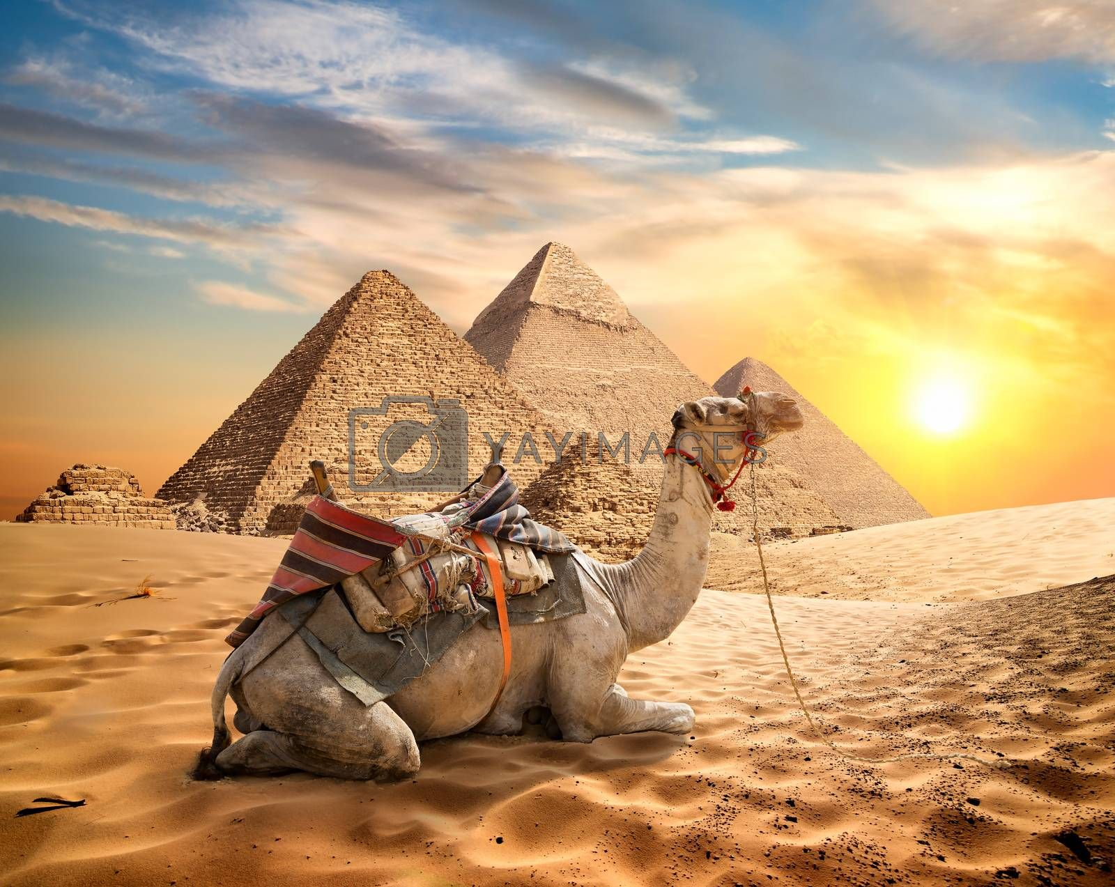 Camel and desert by Givaga