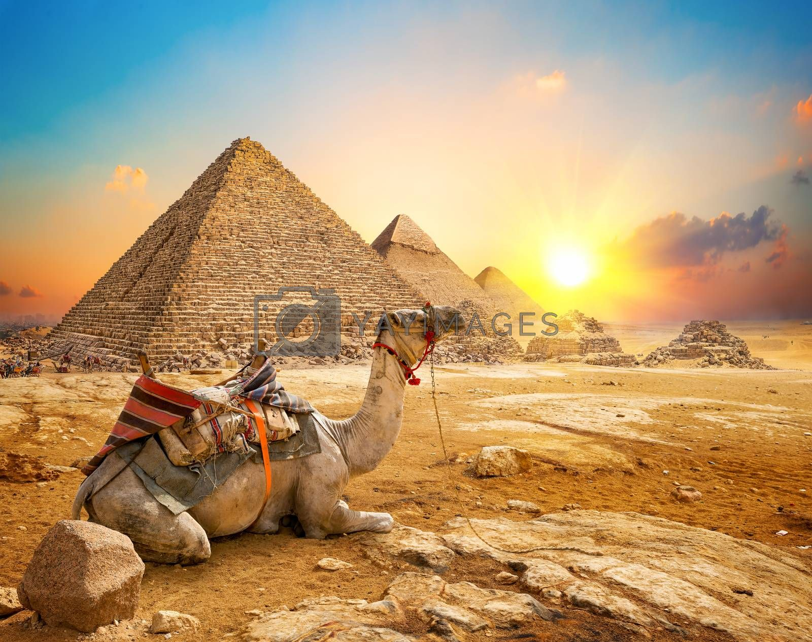 Camel and pyramids by Givaga