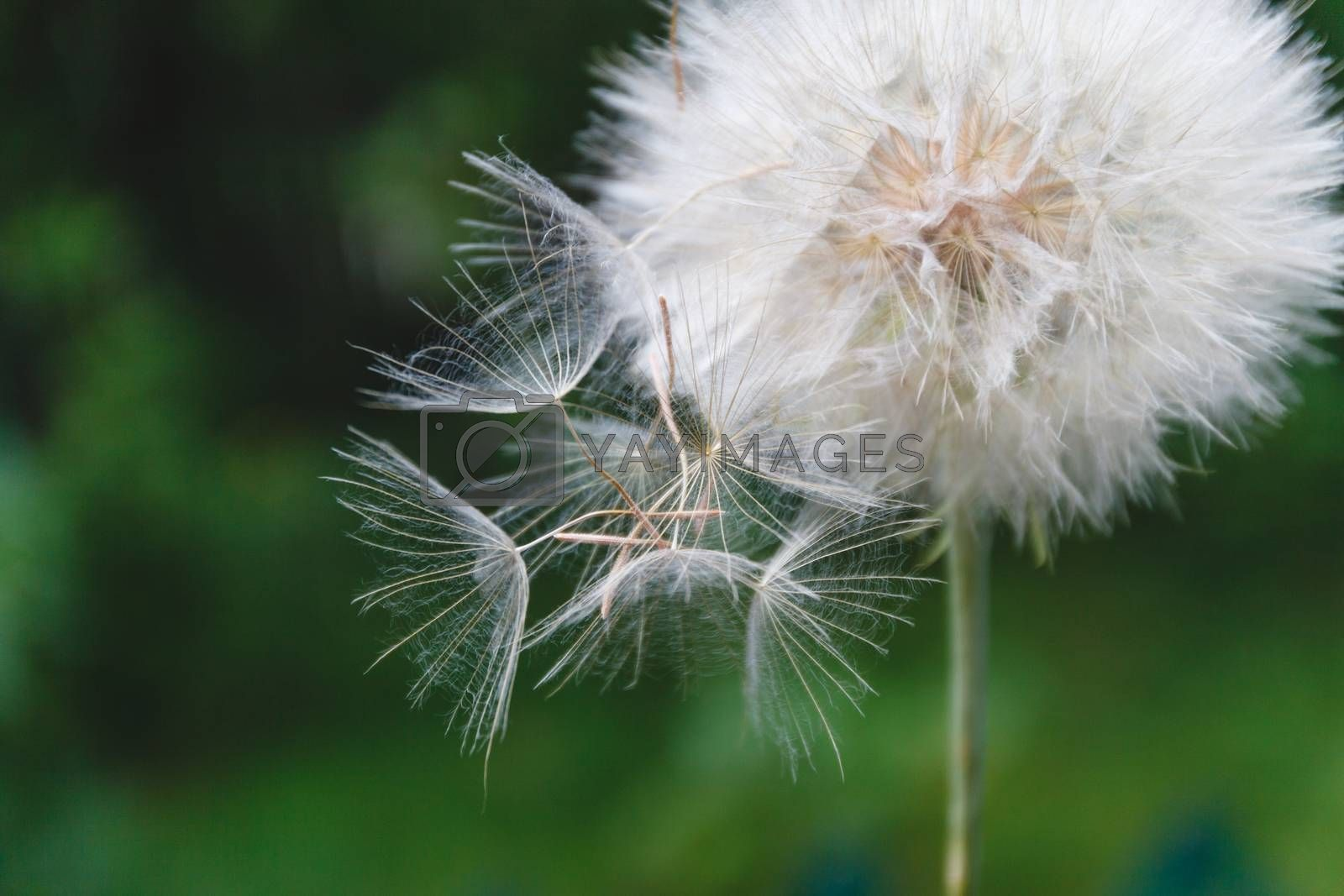 One White dandelion scatters, close-up on a dark background. Mac by Tanacha