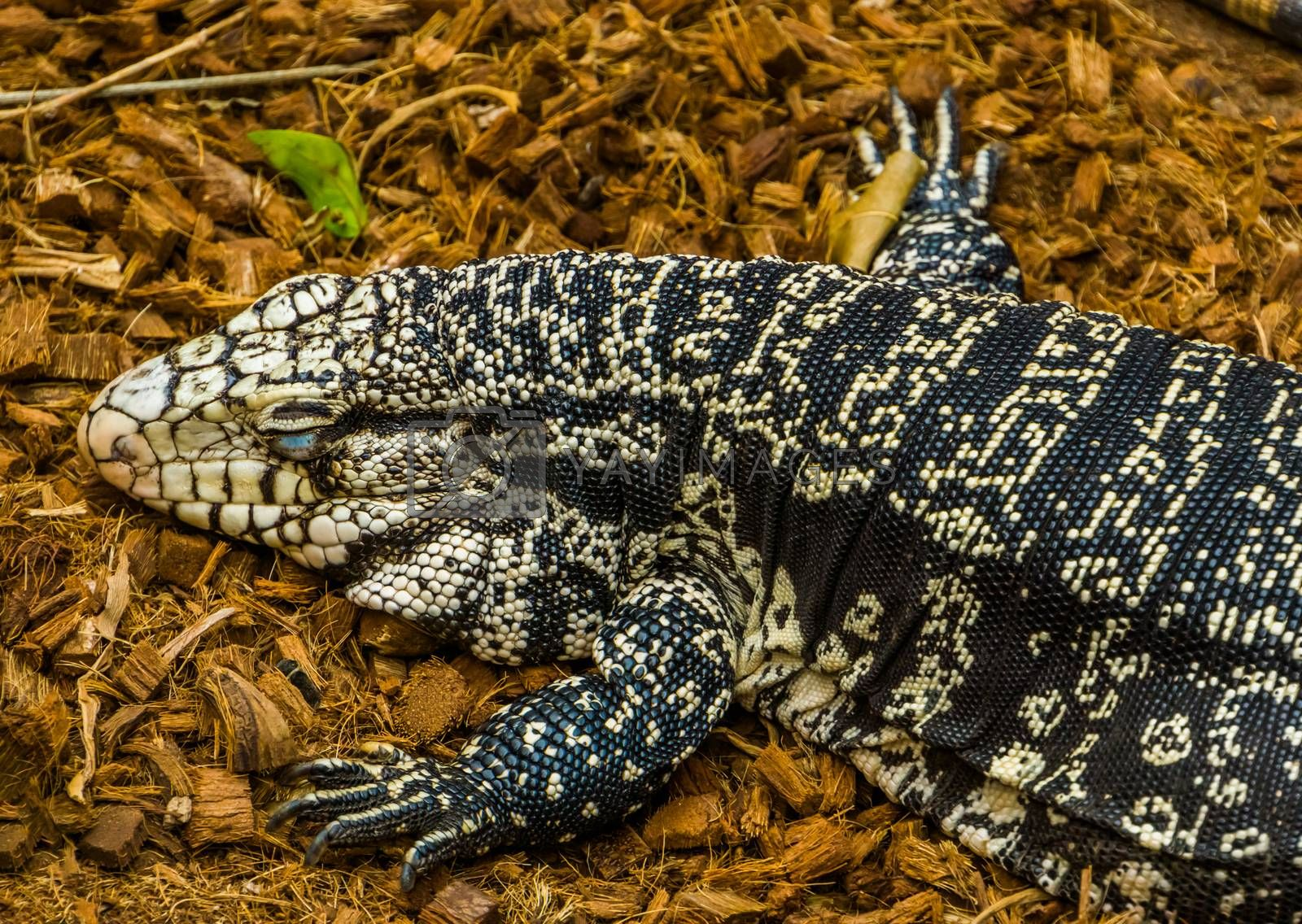 Argentine giant tegu sleeping on the ground, big lizard from America, Reptile brumation, popular pet in herpetoculture by charlotte Bleijenberg