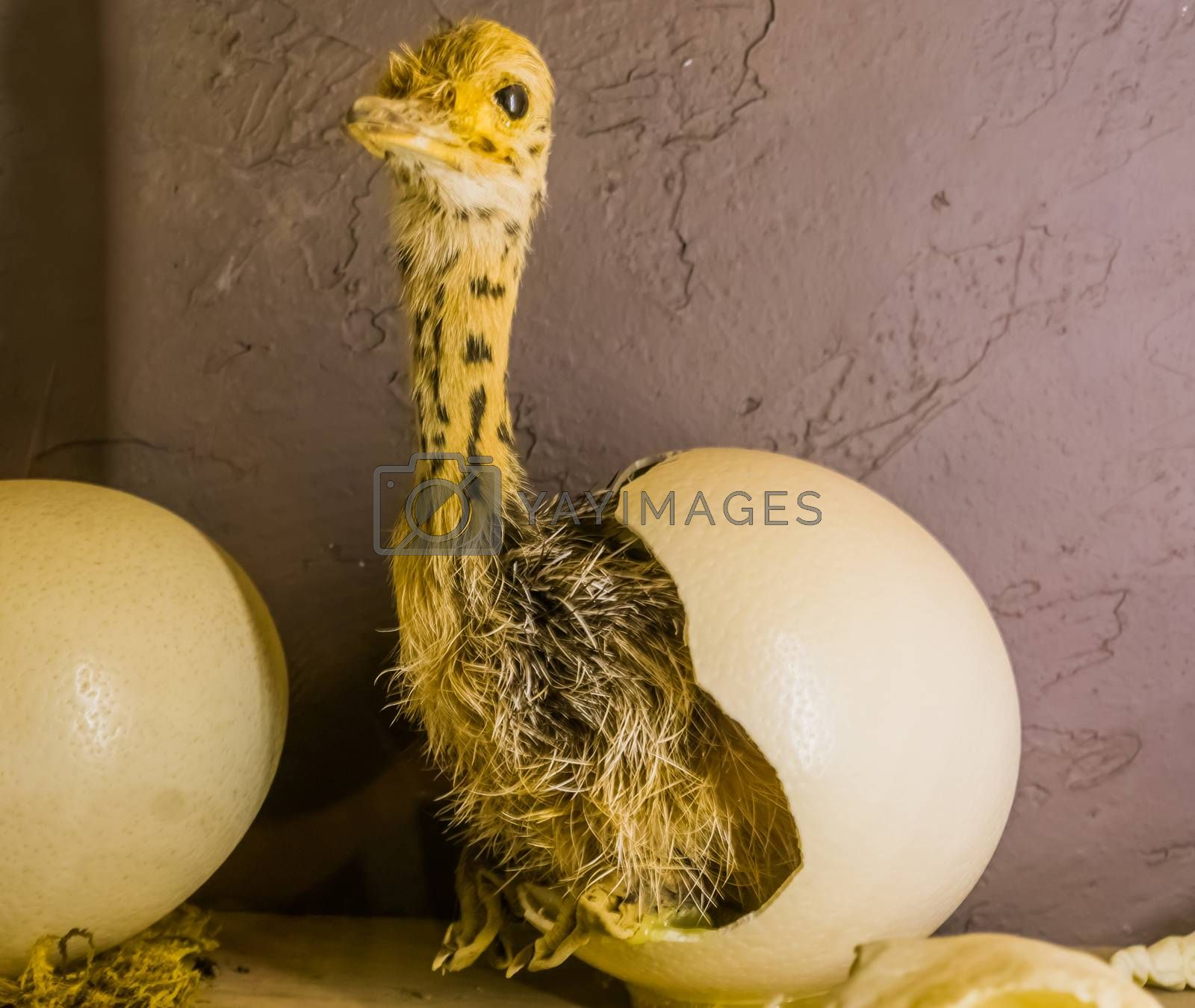 baby ostrich coming out of a hatched egg, birth process of a flightless bird, stuffed animals and decorations
