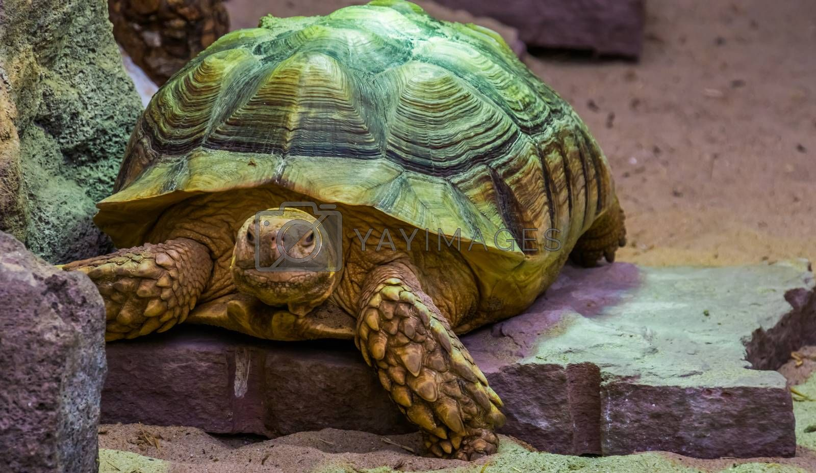 African spurred tortoise in closeup, tropical land turtle from the desert of Africa, Vulnerable reptile specie