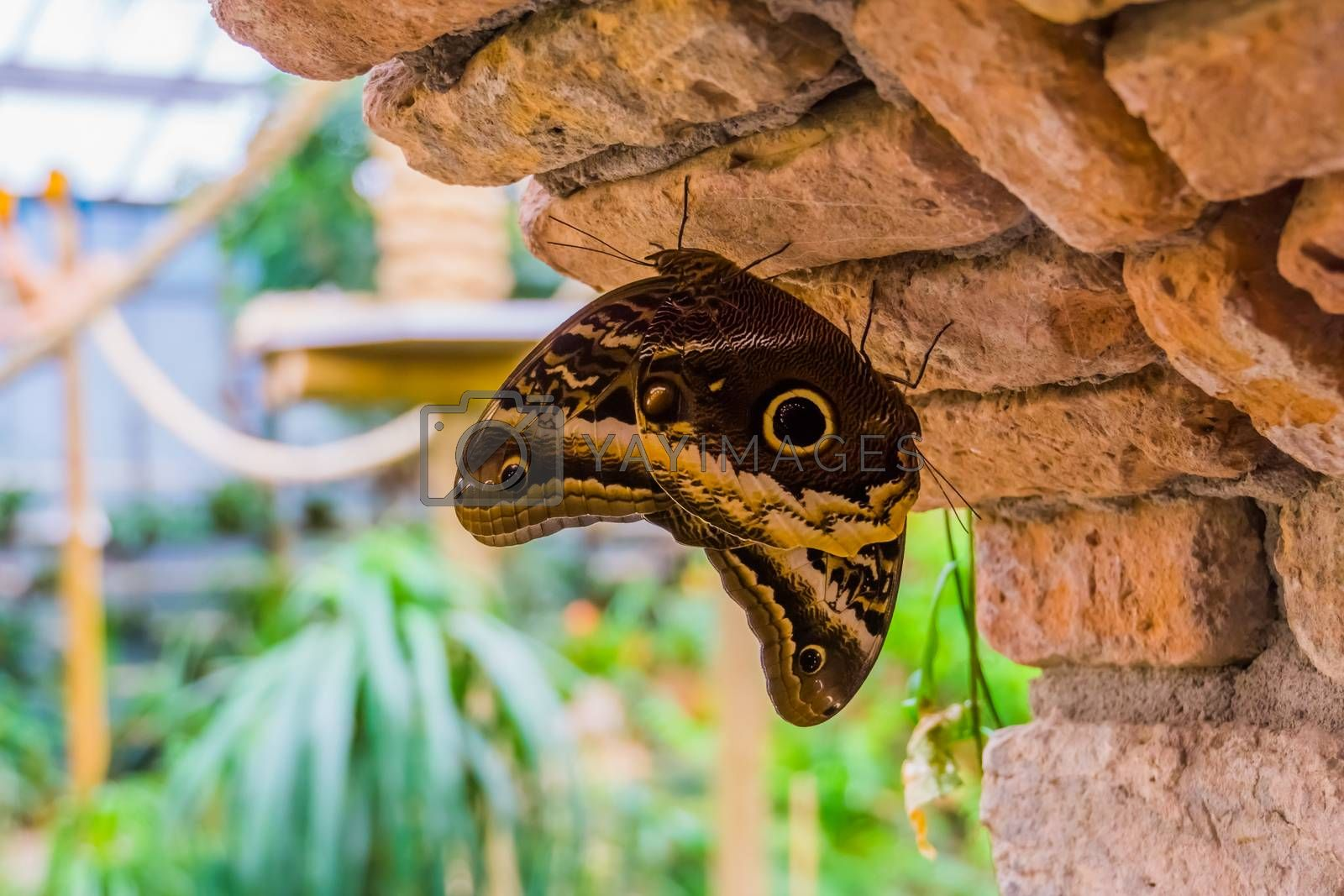 couple of forest giant owl butterflies together, big tropical butterfly specie from America, beautiful and colorful insects by charlotte Bleijenberg