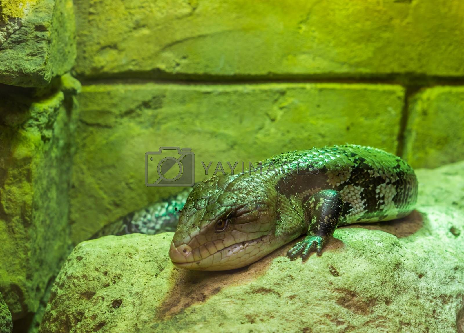 closeup of a common blue tongued skink, tropical lizard from Indonesia, popular reptile pet in herpetoculture