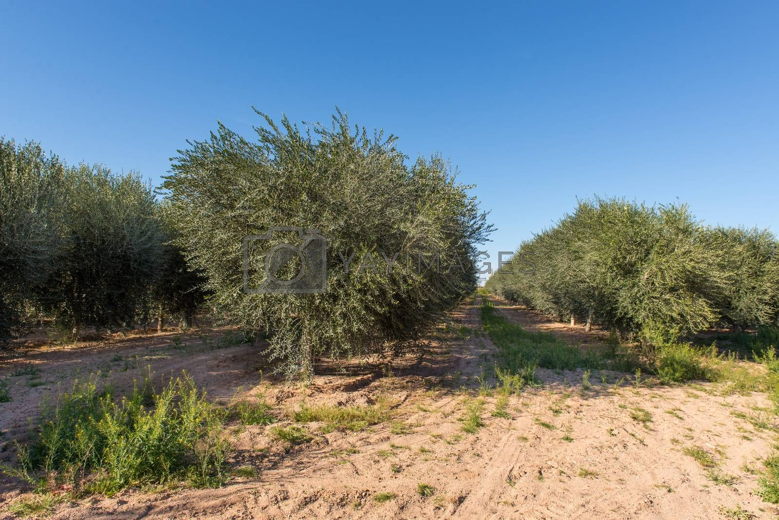 Young Olive Tree Plantation by Dan Totilca