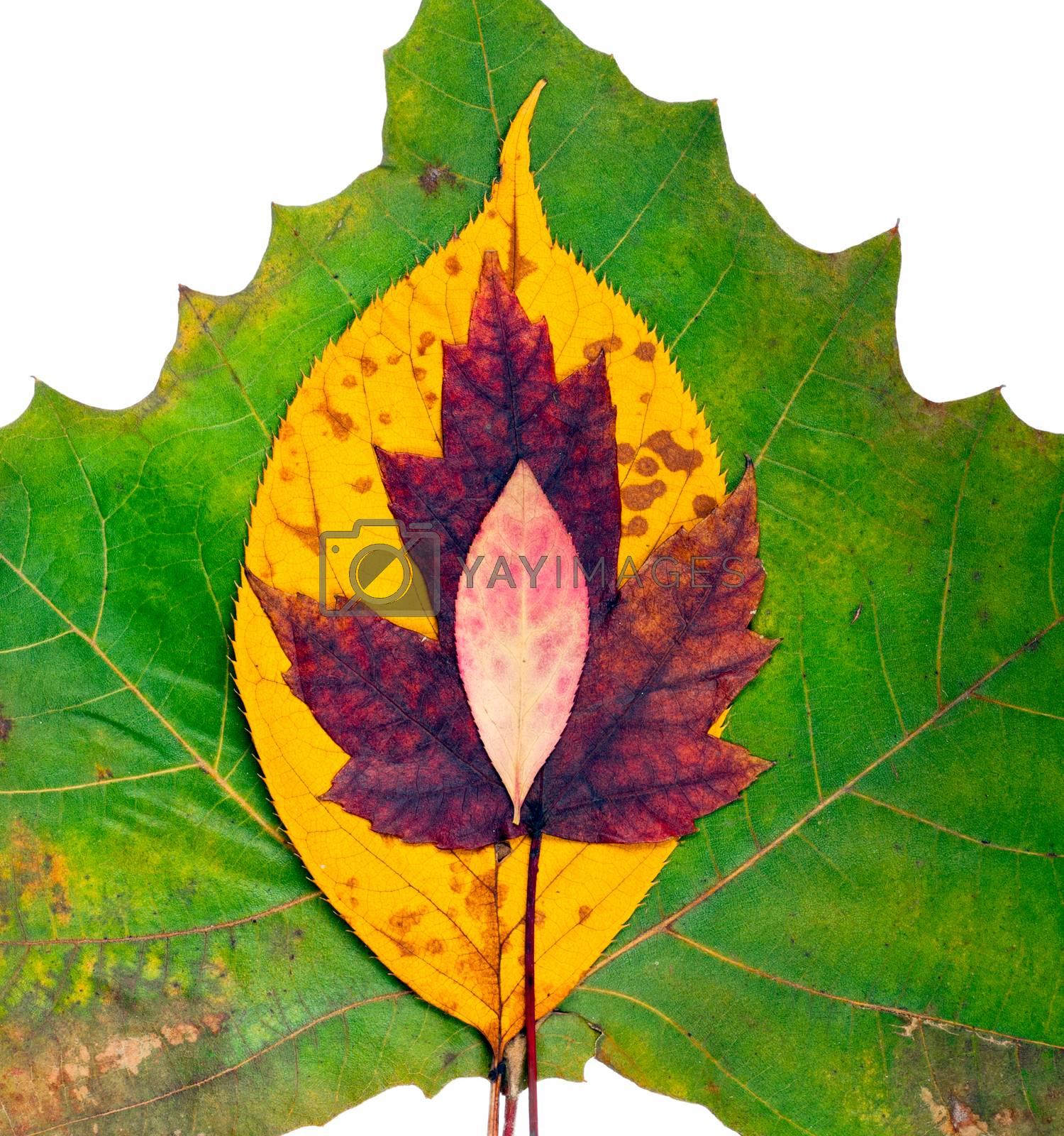 Fall Leaves by Dan Totilca