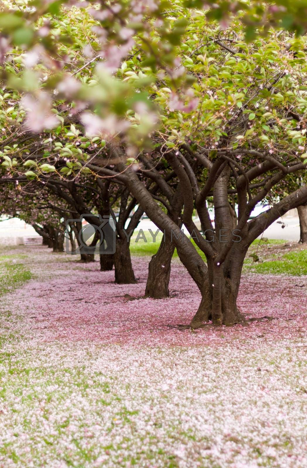 Cherry trees in blossom in an city park in America on a windy day.