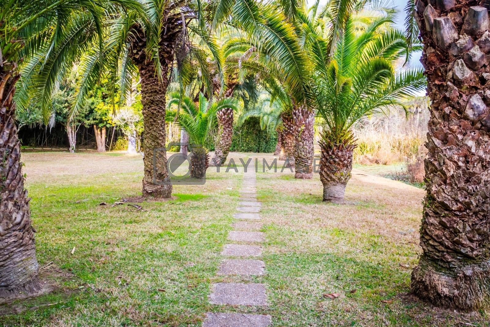 Greeny large Palm Trees in Avery Island, Louisiana by Cheri Alguire