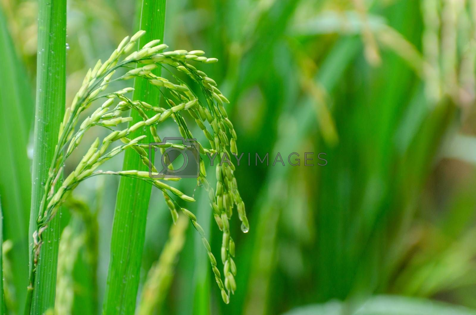 Nearly ripe green rice is in the lush green pasture Close-up by Sarayut