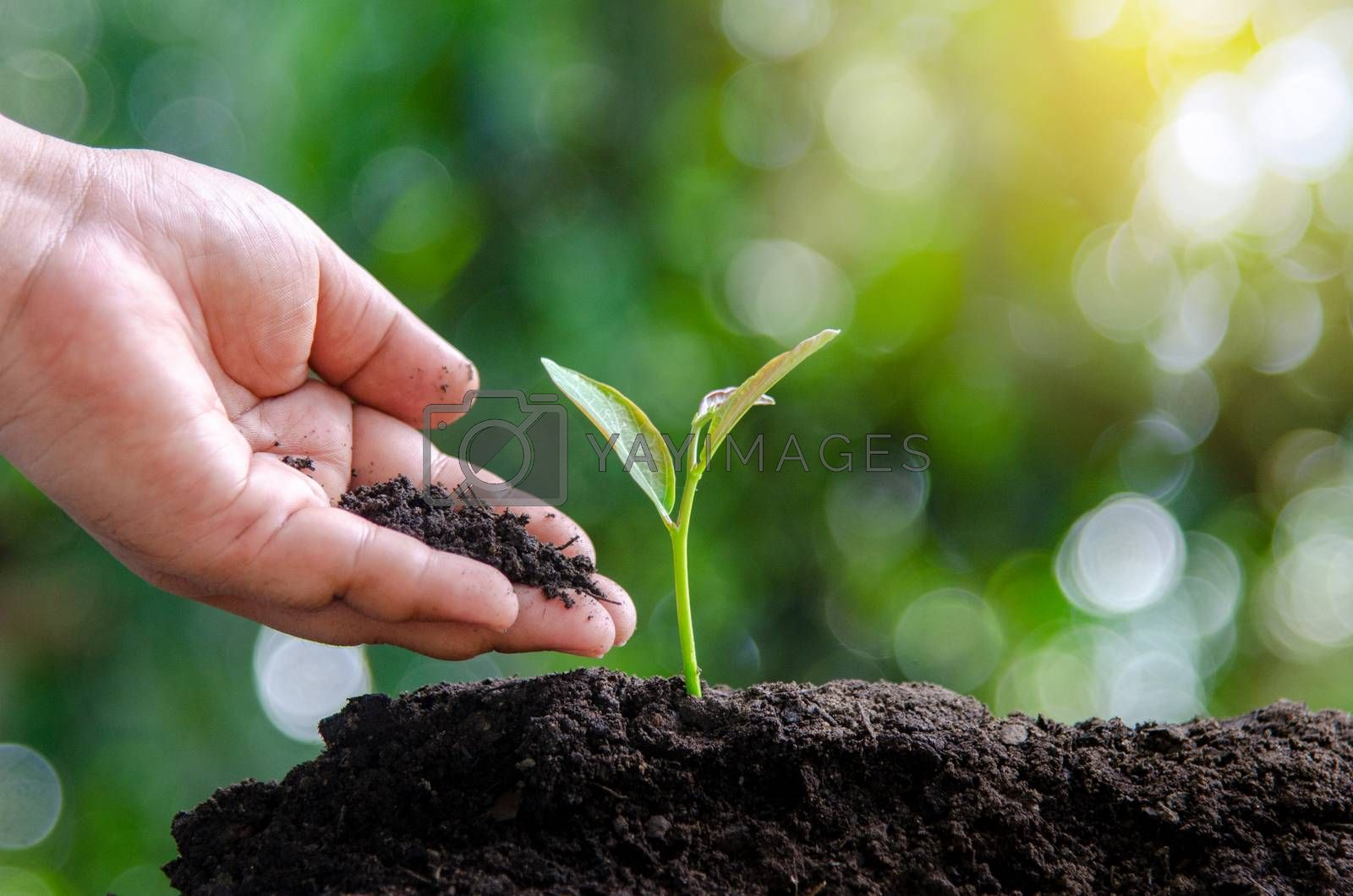 tree sapling hand planting sprout in soil with sunset close up male hand planting young tree over green background by Sarayut