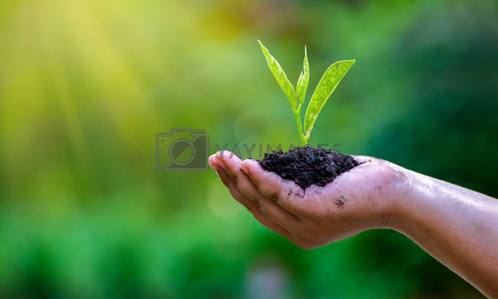 In the hands of trees growing seedlings. Bokeh green Background Female hand holding tree on nature field grass Forest conservation concept by Sarayut