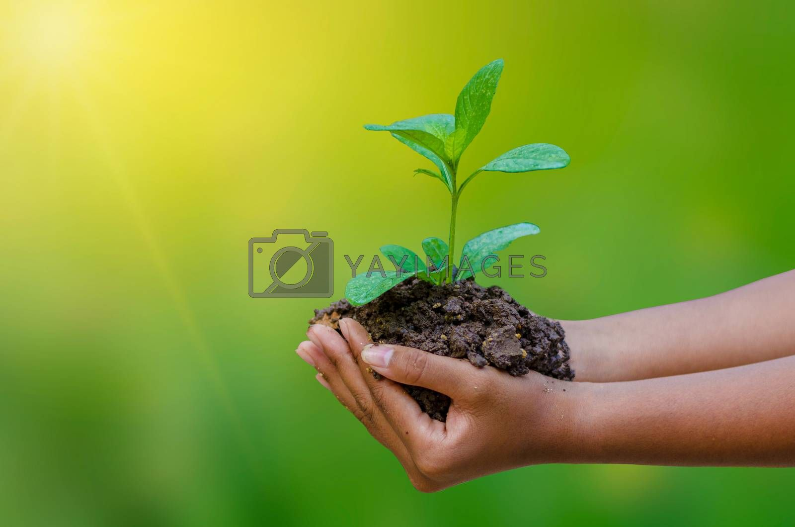In the hands of trees growing seedlings bokeh green background Female hand holding tree on nature field grass Forest conservation concept by Sarayut