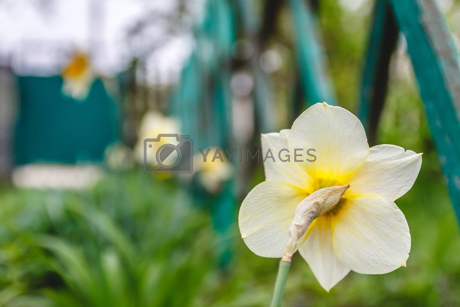 One flower of narcissus, rear view, against a green background.  by Tanacha