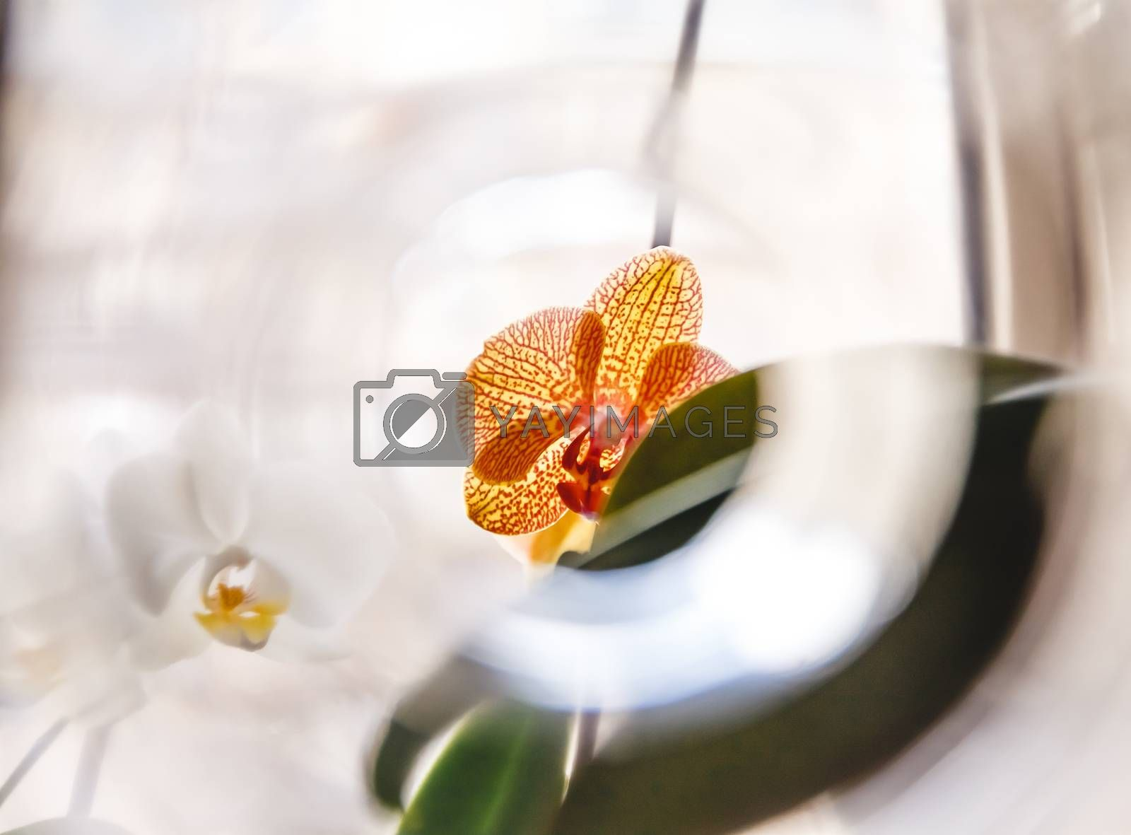 White and orange tiger orchid flower on bright background in cre by Tanacha