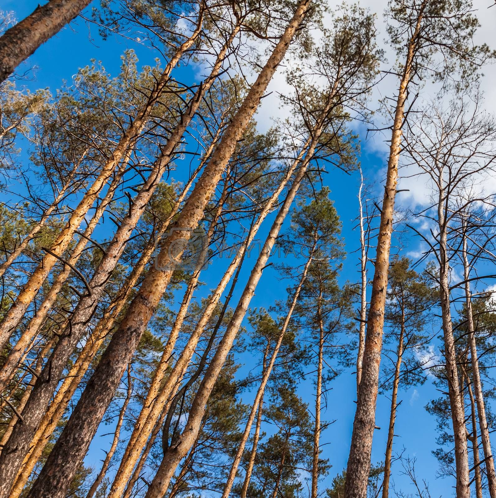 Day landscape of pine trees in the spring-summer forest, with a  by Tanacha