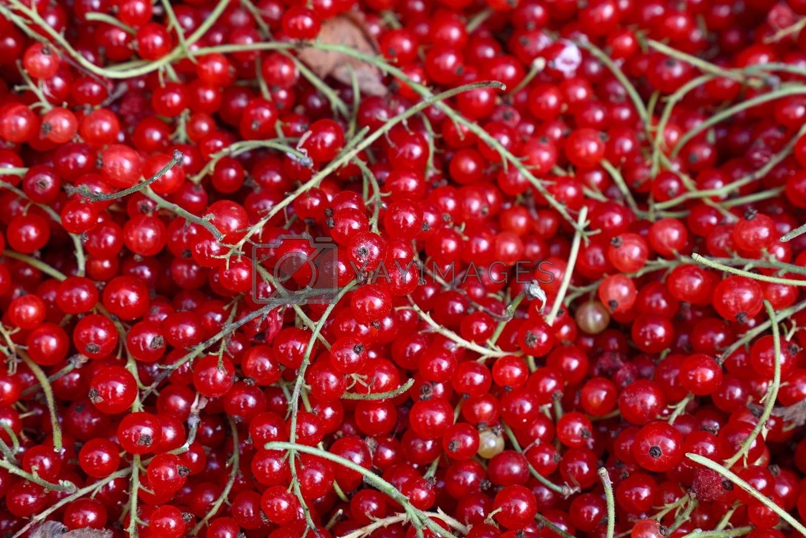 Close up fresh redcurrant on retail display by BreakingTheWalls