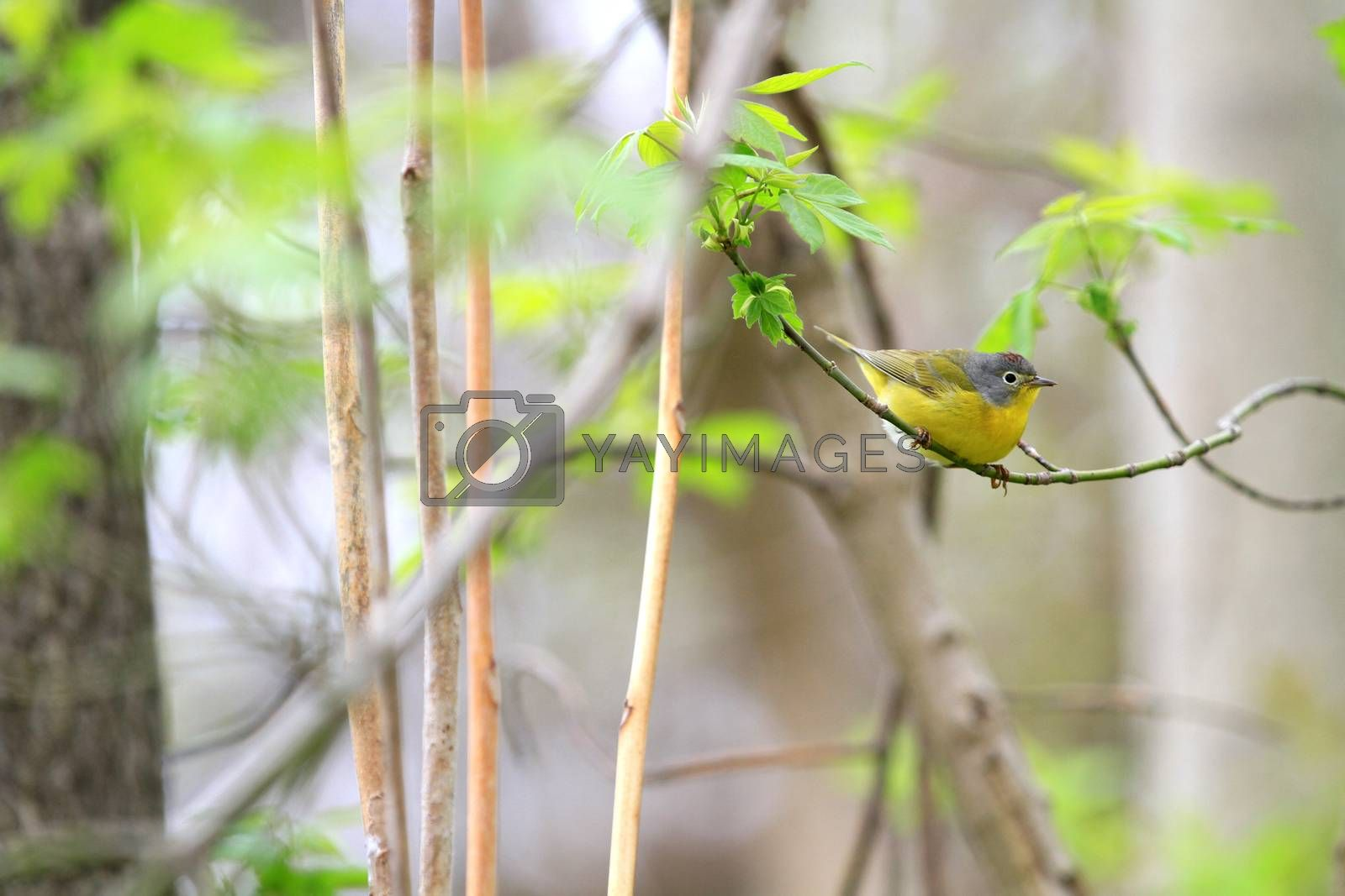 Nashville warbler male by Ron Rowan