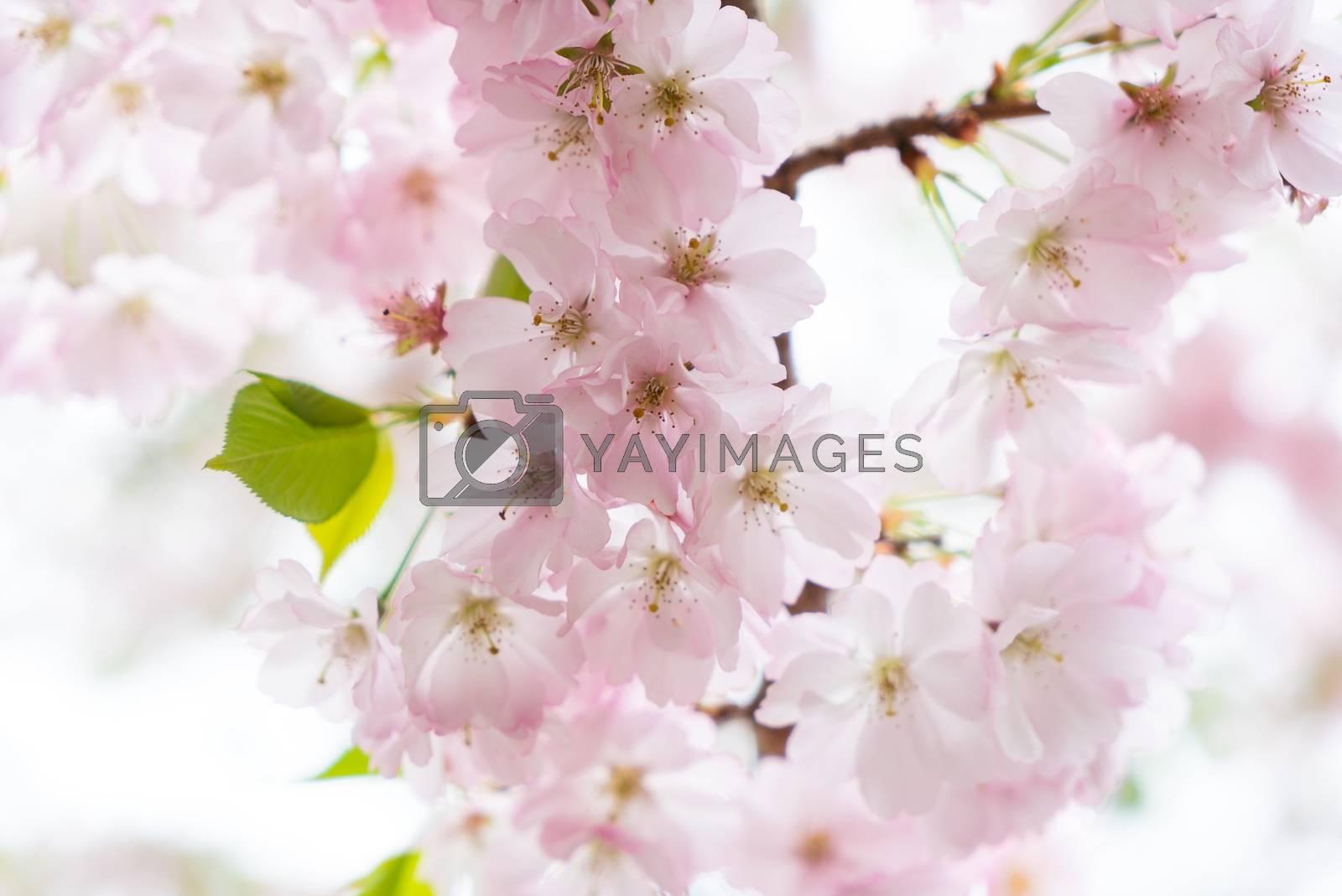 Blossom of a cherry tree. by Daniel Albach