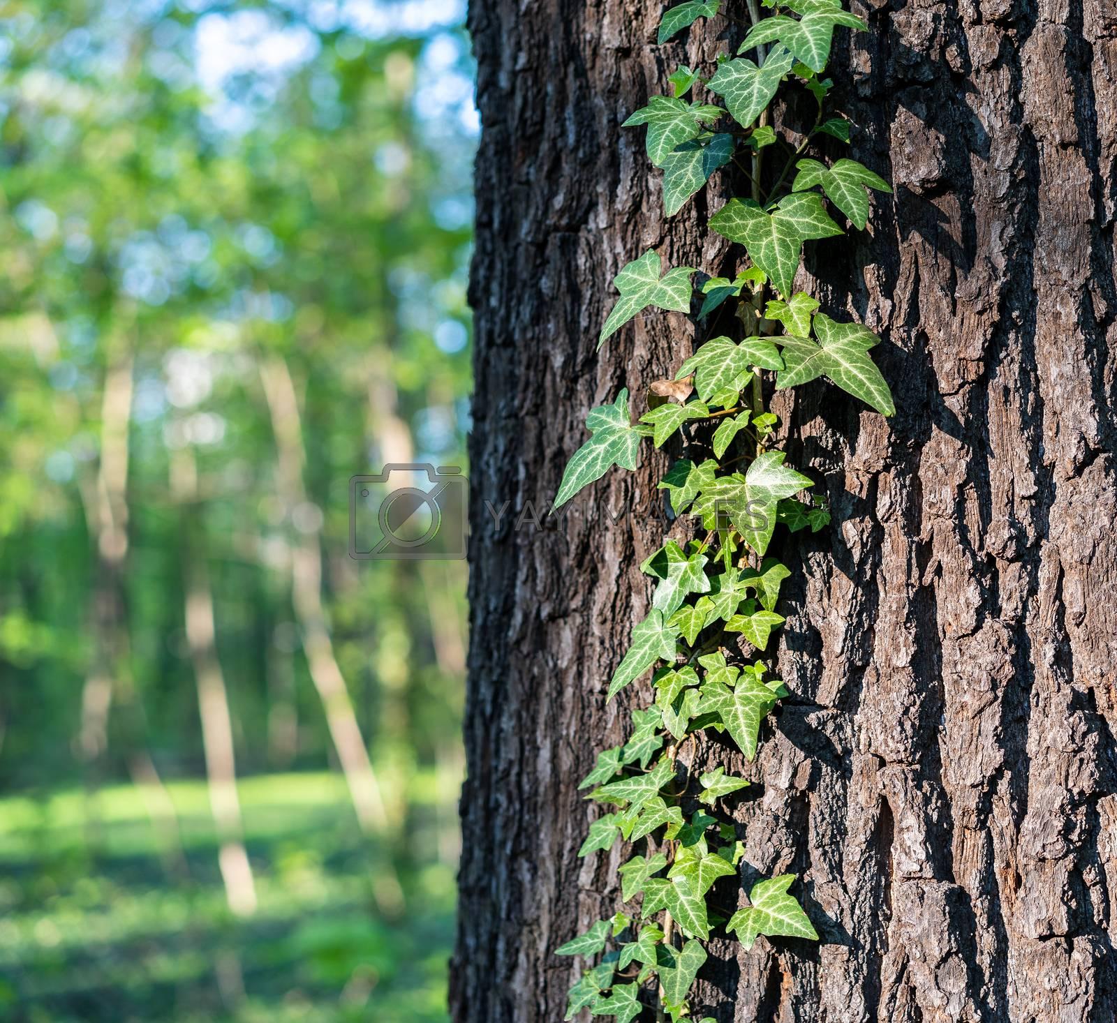 Ivy on a conker. by Daniel Albach