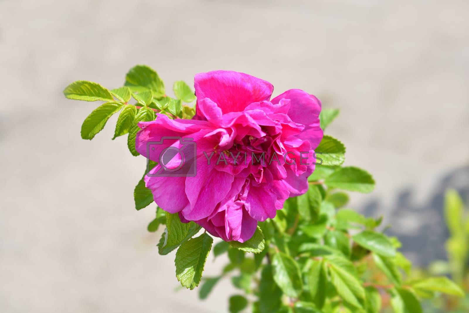 Rugosa rose by nahhan