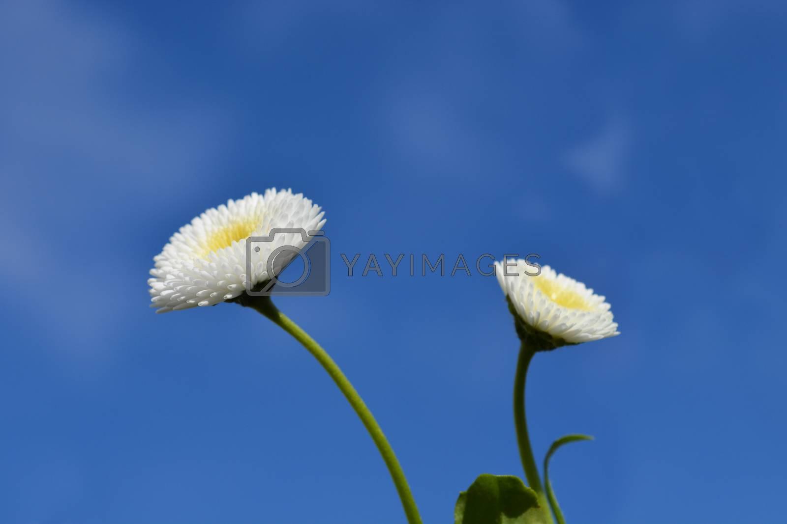 English daisy by nahhan